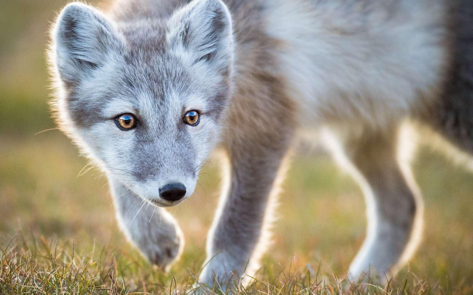 Jeune renard polaire photographié par Florian Ledoux. © Florian Ledoux