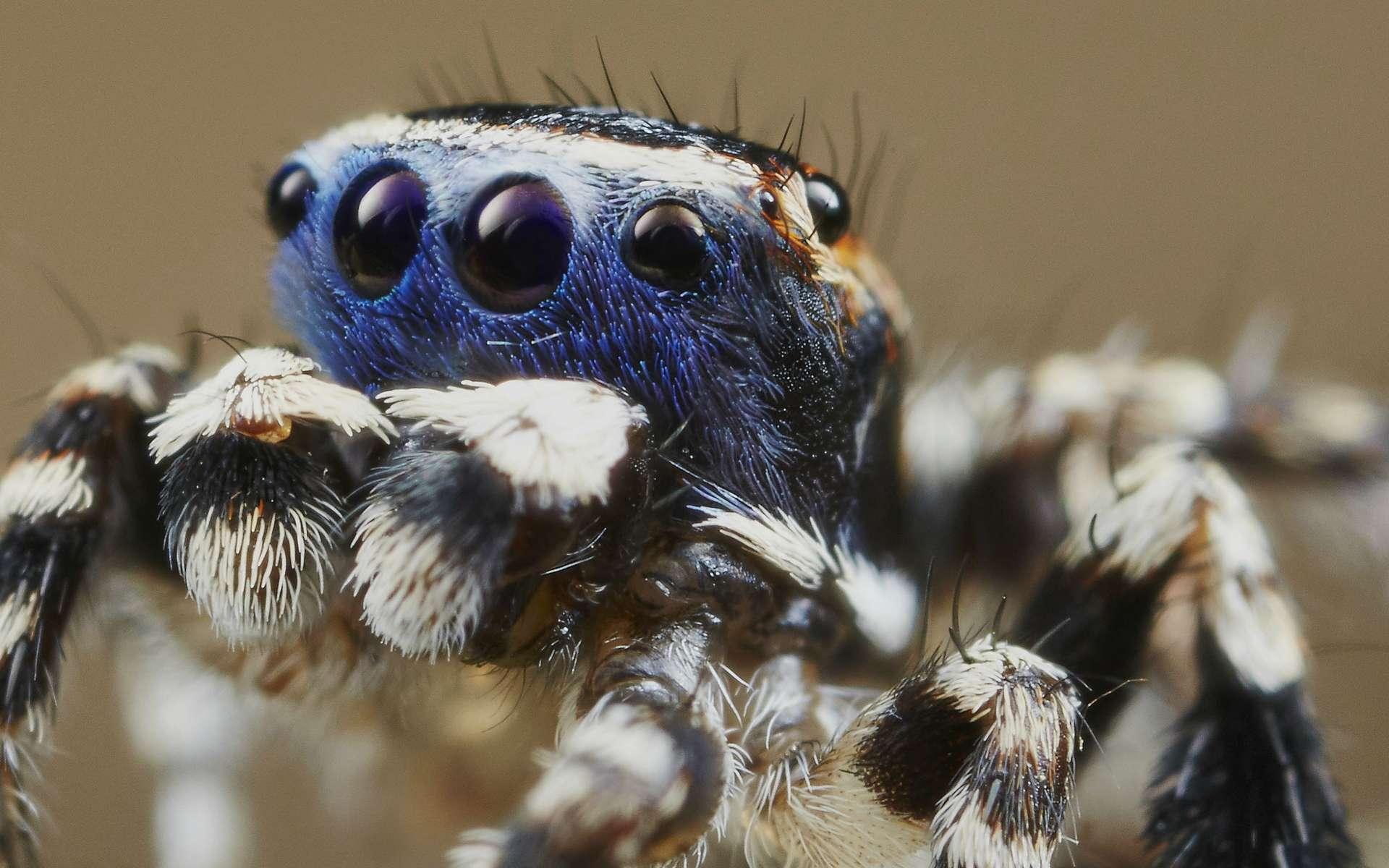 Chez la minuscule araignée australienne Maratus personatus, le mâle porte comme un masque bleu sur ses quatre yeux, d'où son surnom de « Blueface ». © Jürgen Otto