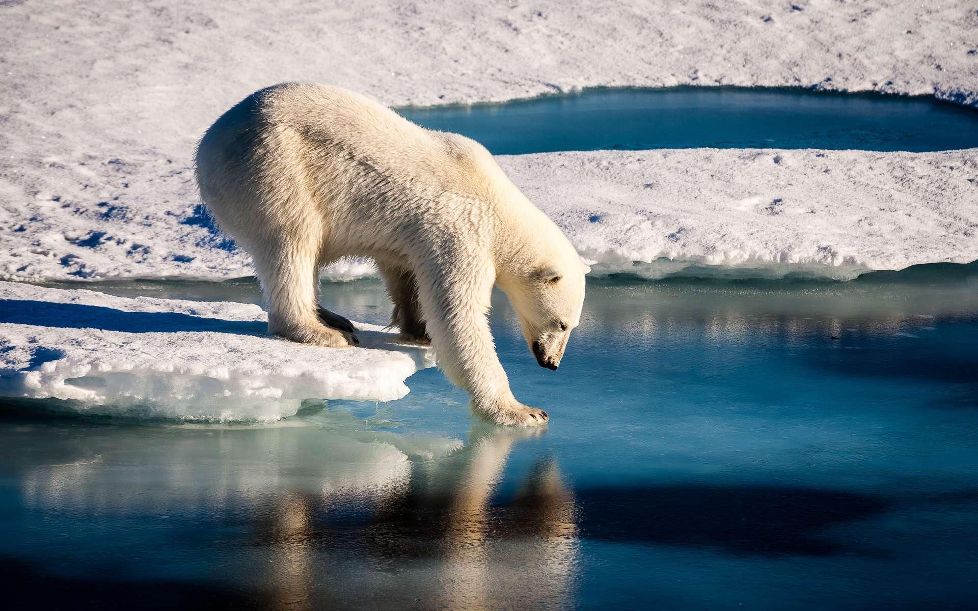 Les ours polaires ont des comportements de chasse élaborés qui impliquent parfois l'utilisation d'outils. © Mario Hoppmann, Adobe Stock