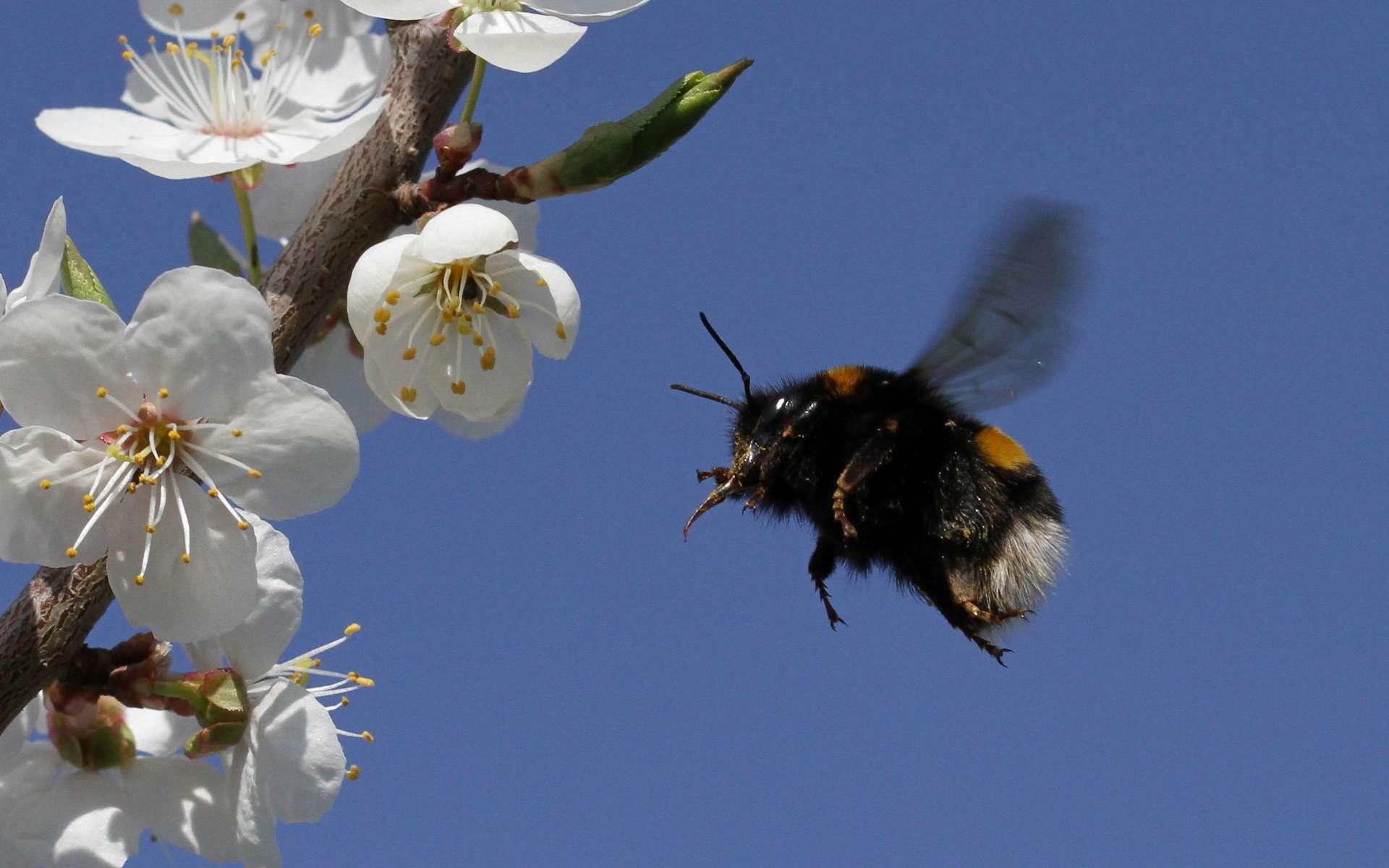 Certains arbres fournissent pollen et nectar en quantité aux abeilles pour nourrir la ruche et fabriquer leur miel. © Peyman Zehtab Fard, Flickr