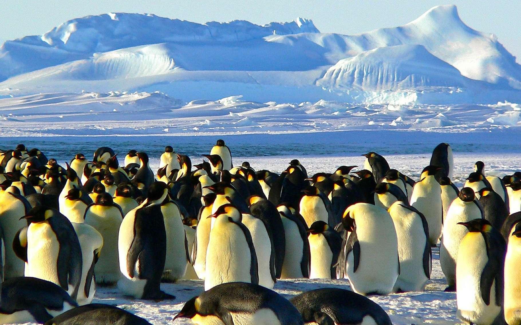 Les manchots — ici, le manchot empereur — vivent dans l'hémisphère sud. Les pingouins, quant à eux, sont installés dans l'hémisphère nord. © MemoryCatcher, Pixabay, DP