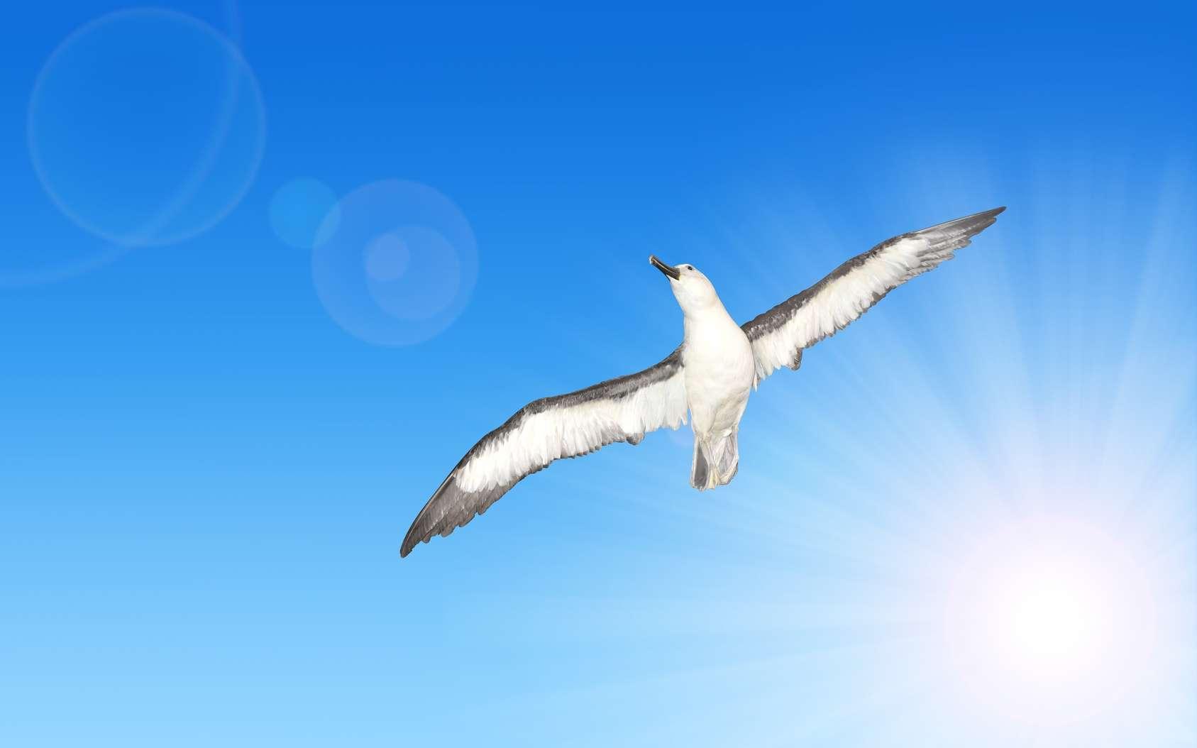 En plein vol, le grand albatros (Diomedea exulans) étend ses ailes qui peuvent atteindre une envergure de 3,70 m. © vencav, Fotolia