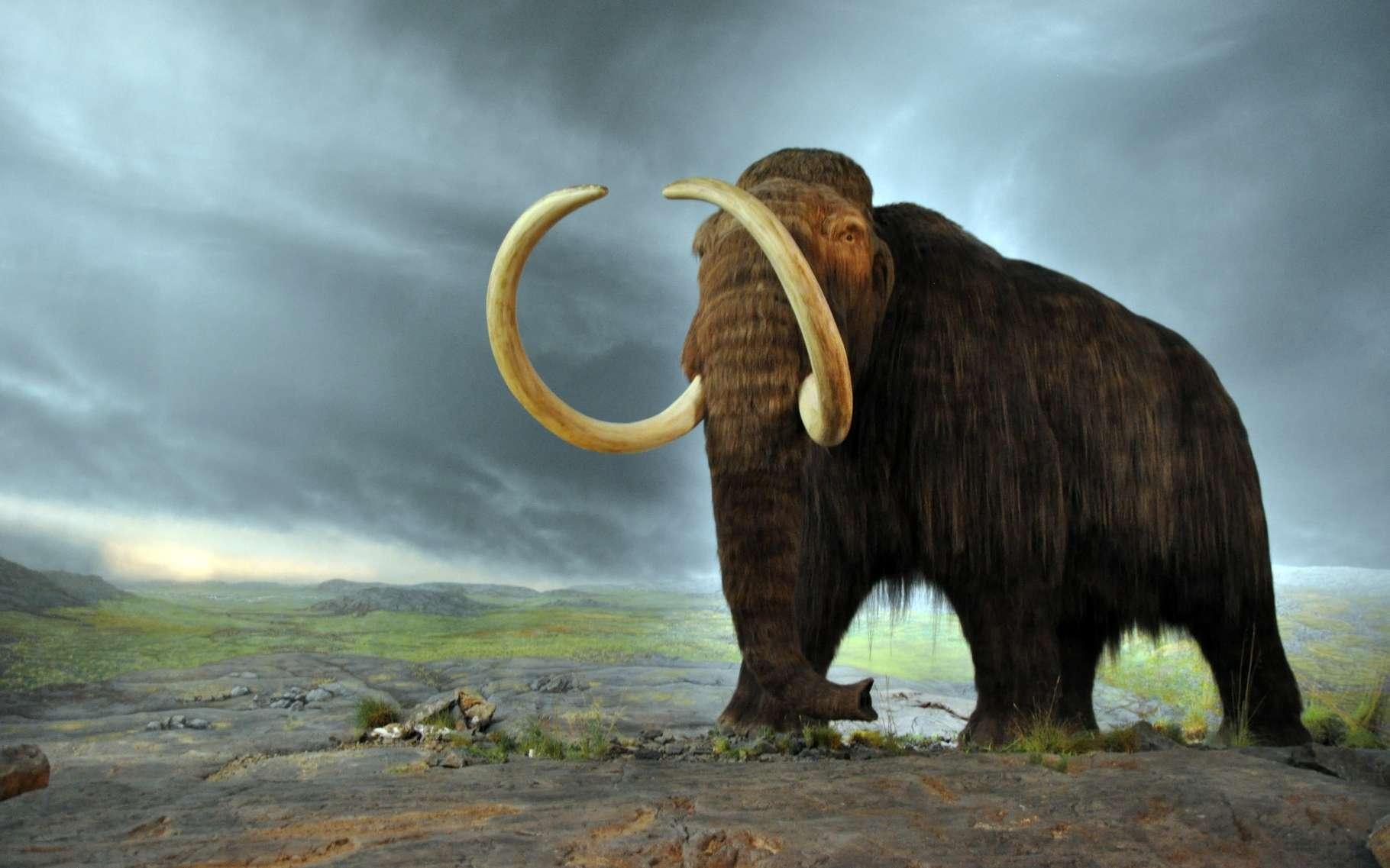 Le mammouth laineux avait une fourrure d'hiver, avec des poils de 90 cm et une couche de graisse de 10 cm. L'été, la fourrure se faisait plus légère. © Flying Puffin, Wikipédia, cc by sa 2.0
