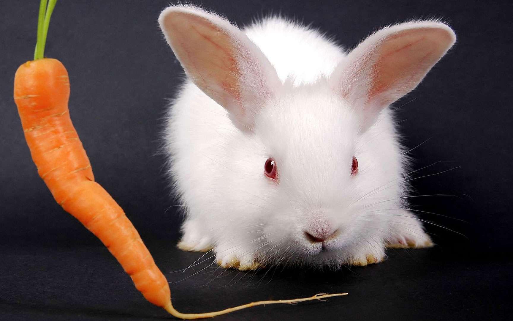 Lapin albinos. Le lapin albinos n'a pas une moins bonne vue que le lapin sain. Tous deux ne voient pas toutes les couleurs, on pense qu'ils ne discernent que le bleu et le vert. © Tomy86 | Stock Free Images & Dreamstime Stock Photos