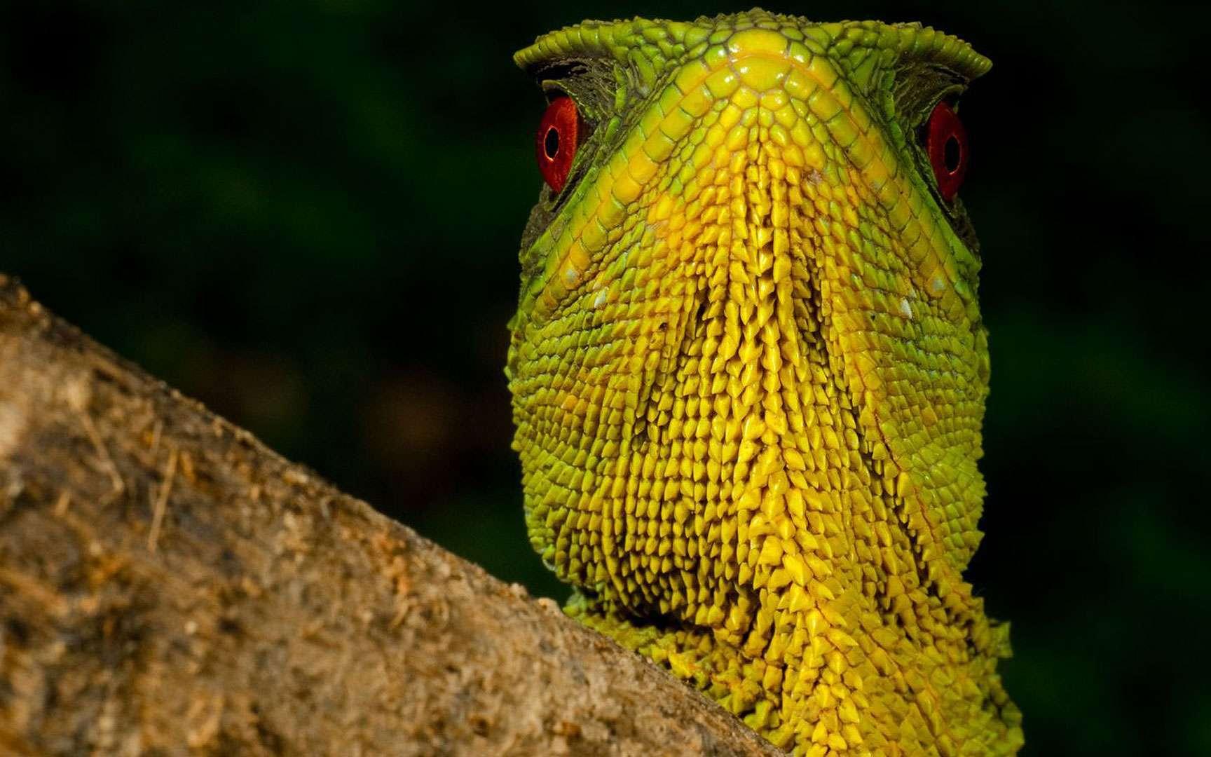 Sa majesté l'iguane. Ce magnifique iguane nain mâle (Enyalioides oshaughnessyi) vit dans une forêt des nuages équatorienne rare et est en voie de disparition à cause du changement climatique. © Paul S. Hamilton / RAEI.org