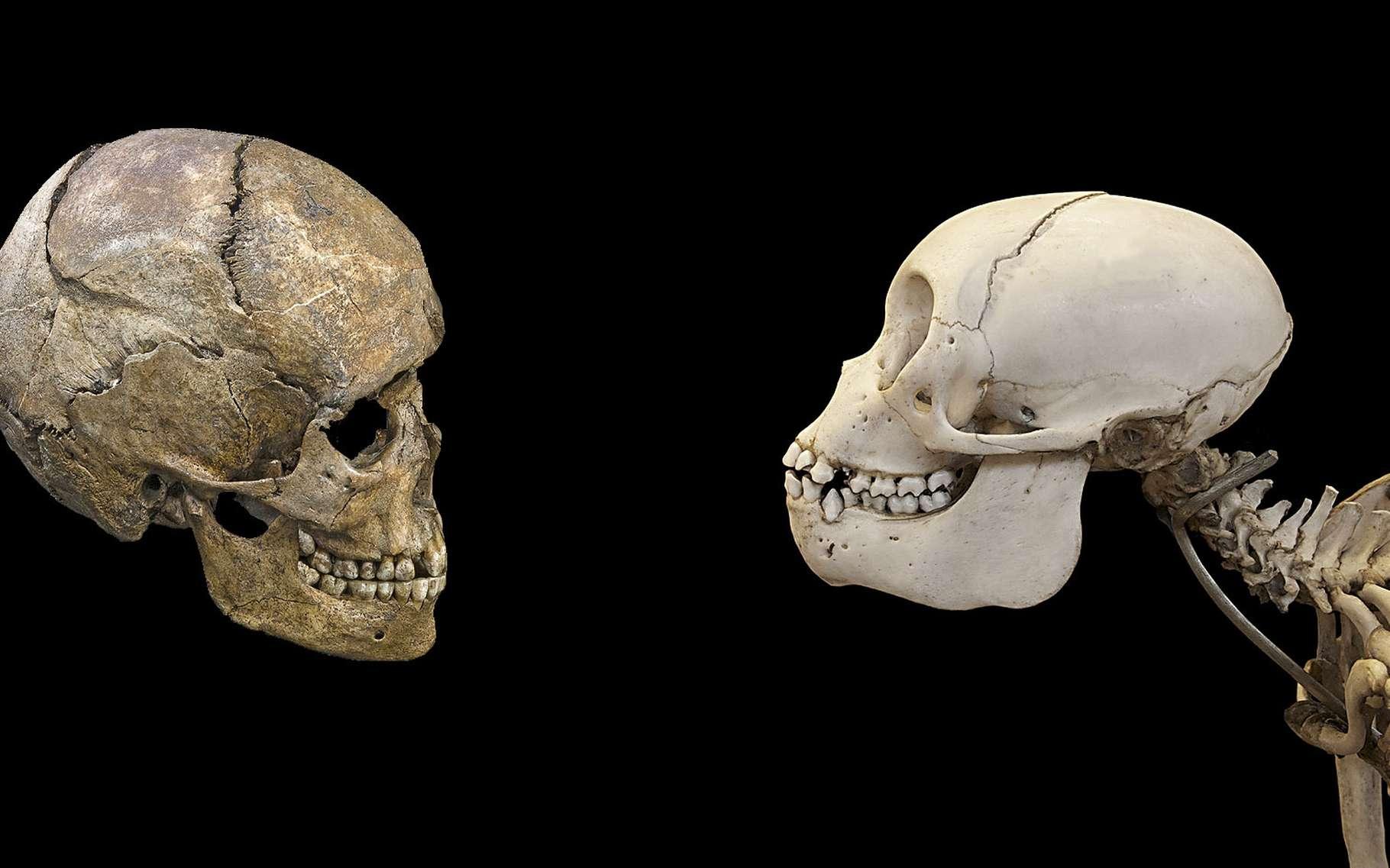 1:6th échelle Petit Crâne