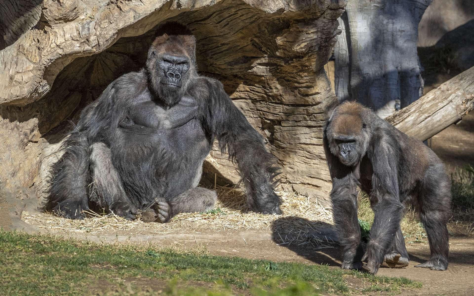 Des gorilles infectés par le coronavirus à San Diego