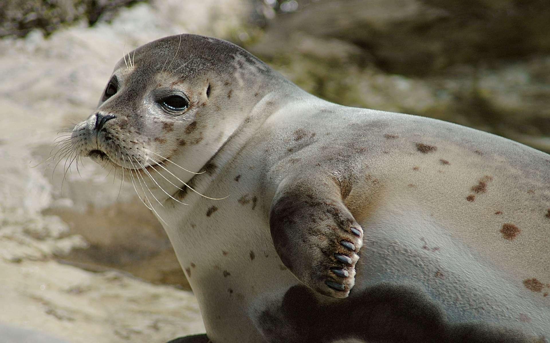 Pourquoi y a-t-il des phoques dans la baie de Somme ? © Marcel Burkhard, Wikimedia Commons, CC by-sa 2.0