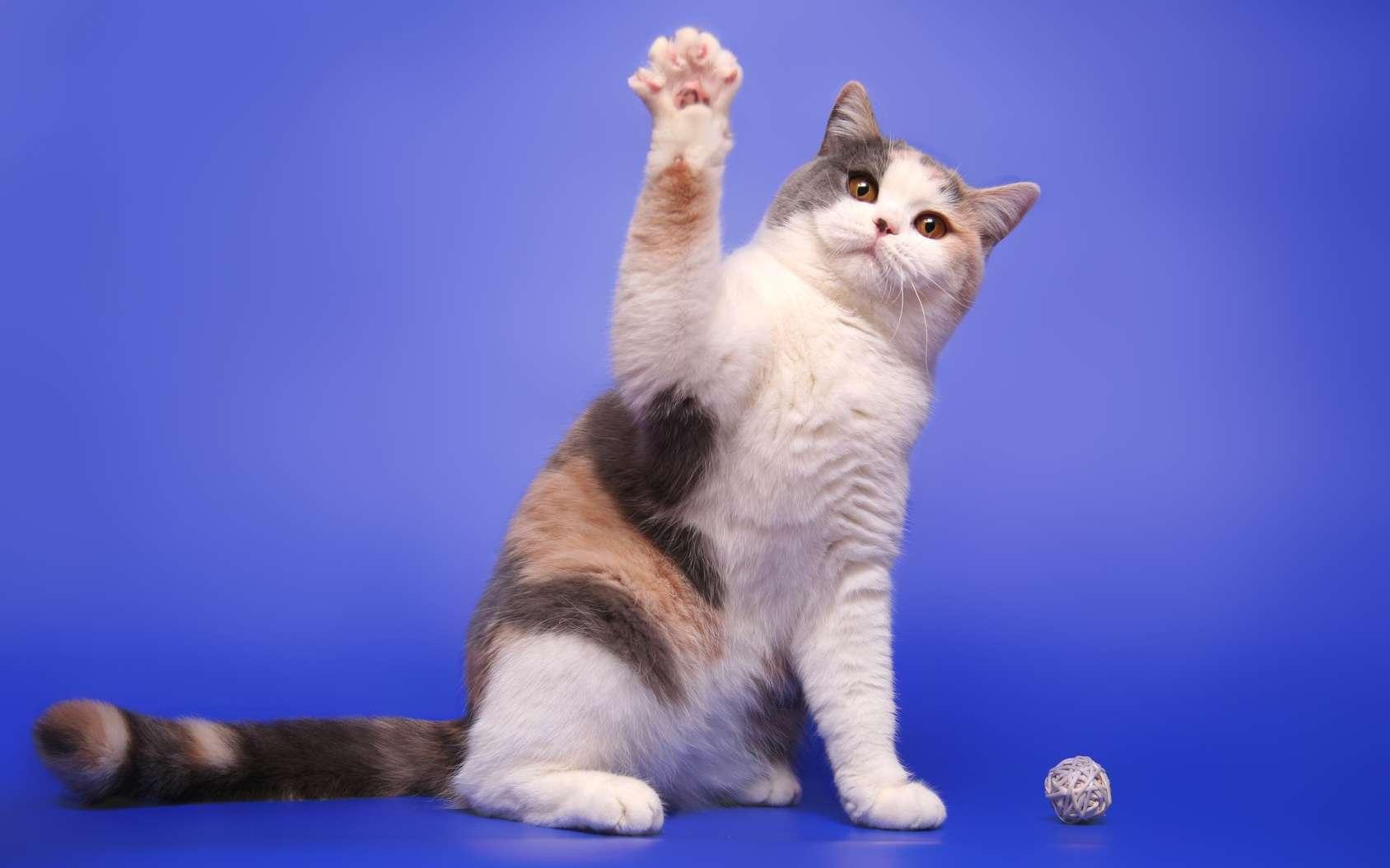 Comme les humains, la plupart des chats sont latéralisés. Alors, votre chat est-il droitier ou gaucher ? © moredix, Fotolia