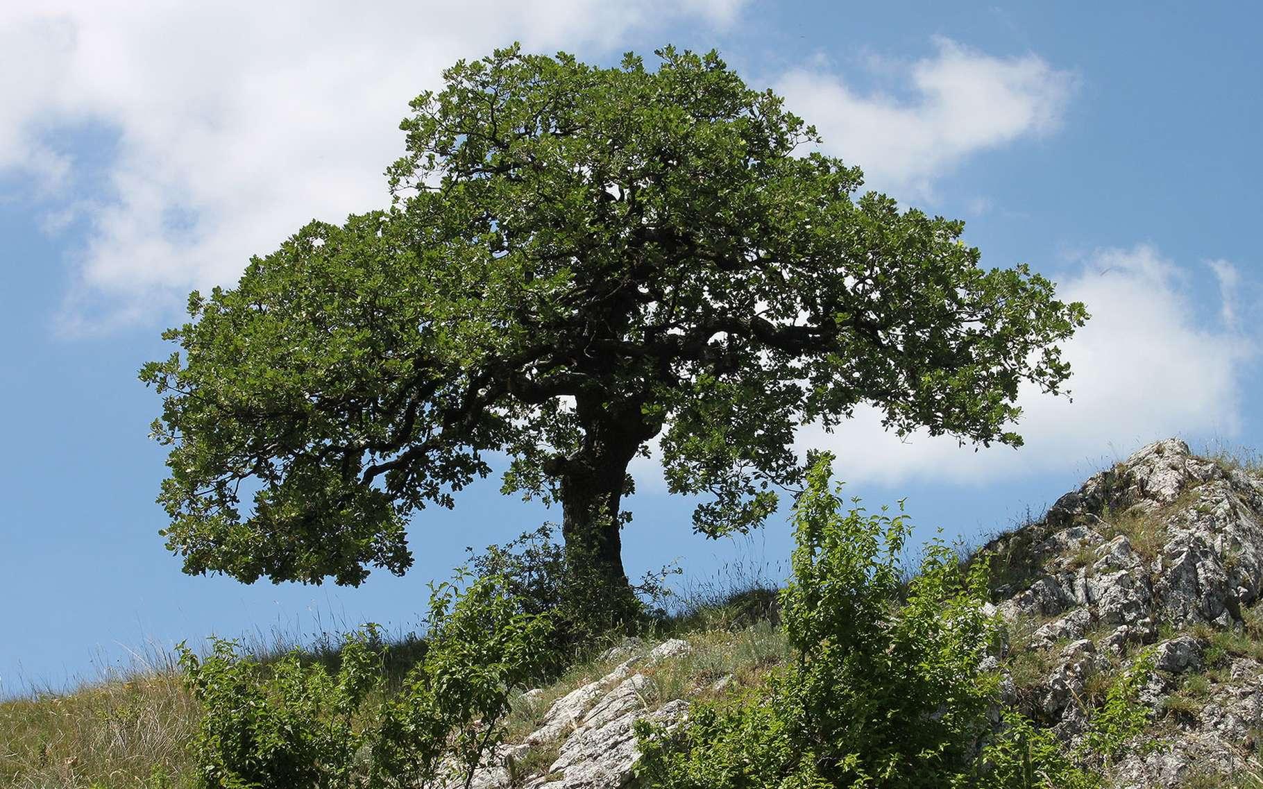 Le chêne pubescent. © axelkr, Flickr CC