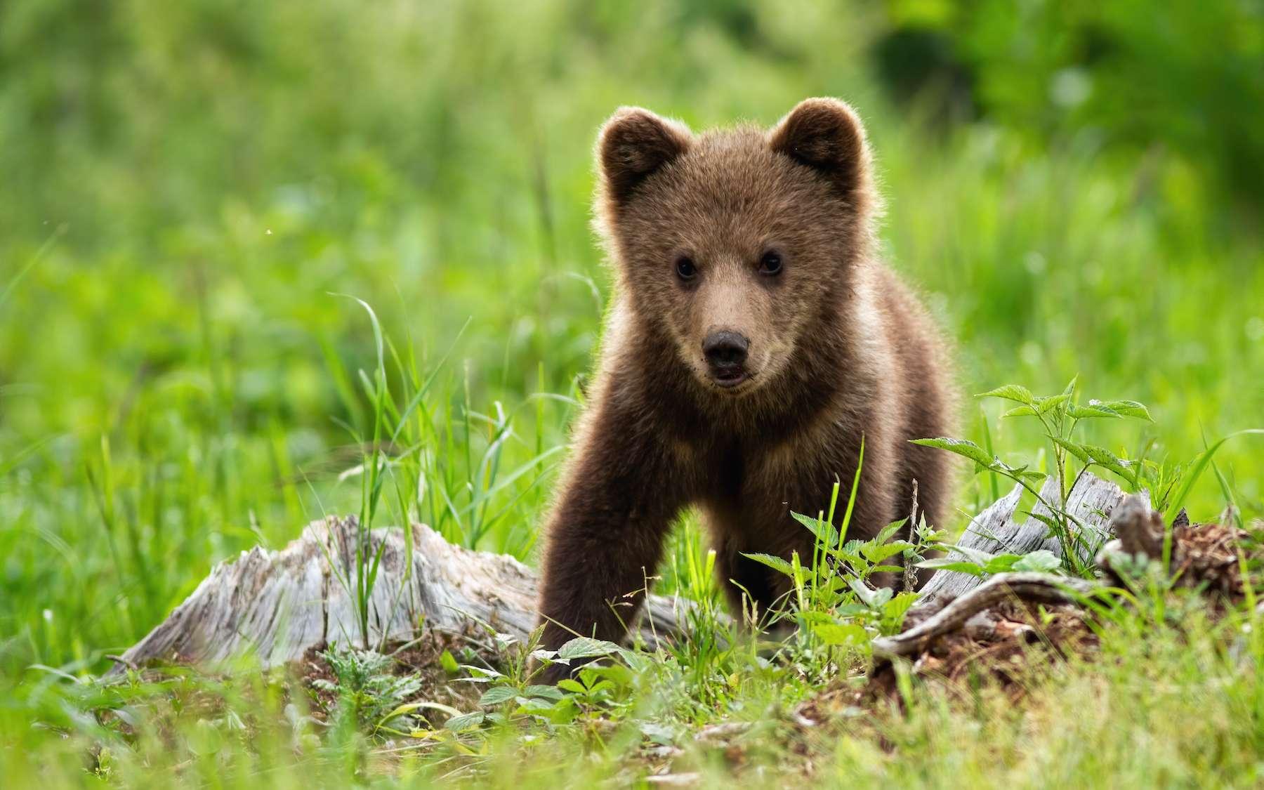 L'ourson et le petit de l'ours. © WildMedia, Adobe Stock