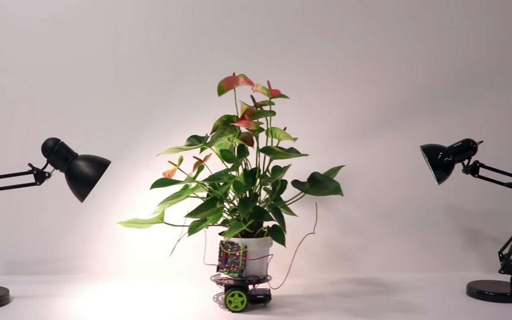 La plante cyborg Elowan développée par le MIT. © Harpreet Sareen