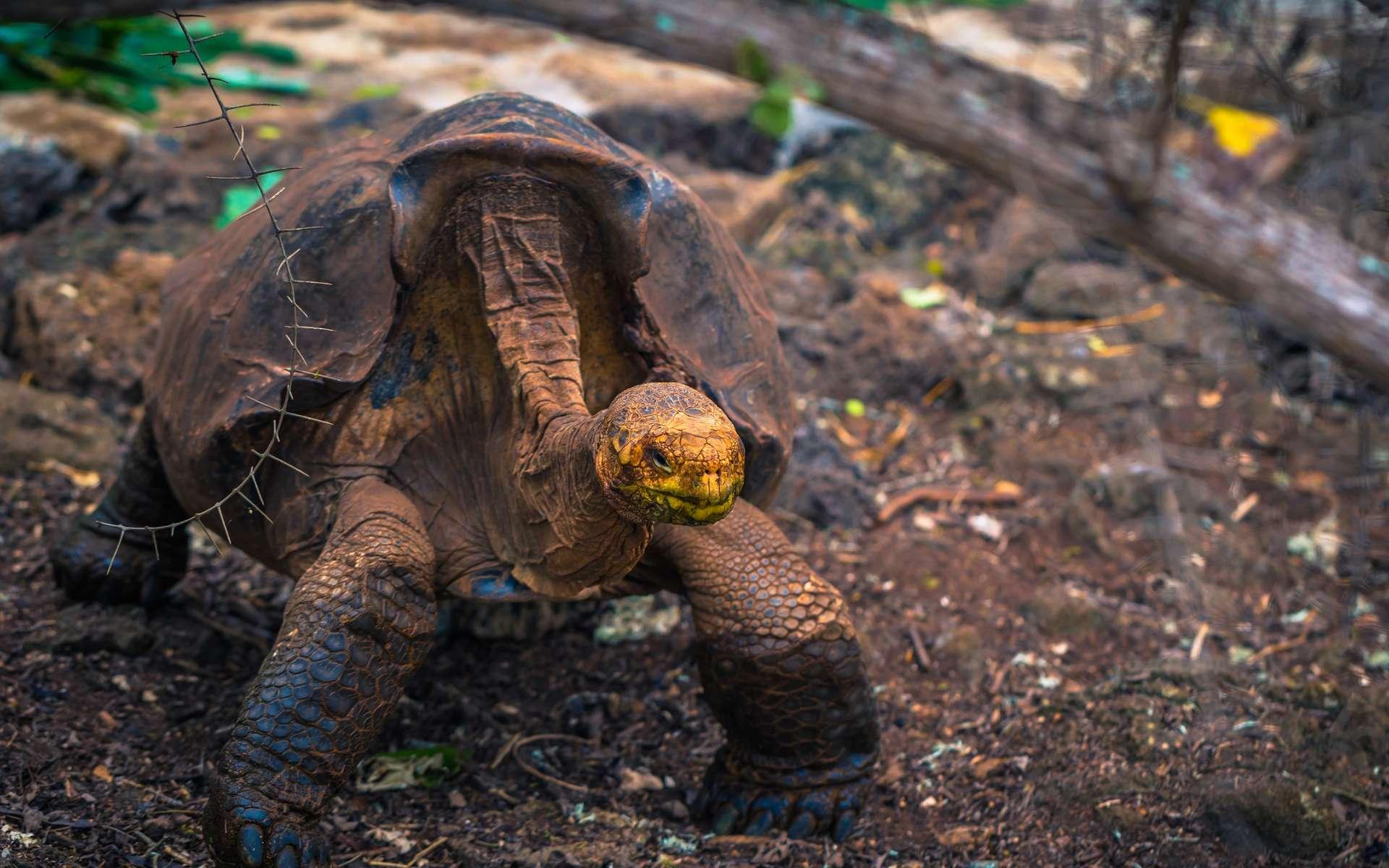 Grâce à Super Diego, une tortue géante des Galápagos, son espèce n'est plus en voie d'extinction. © rpbmedia, Adobe Stock