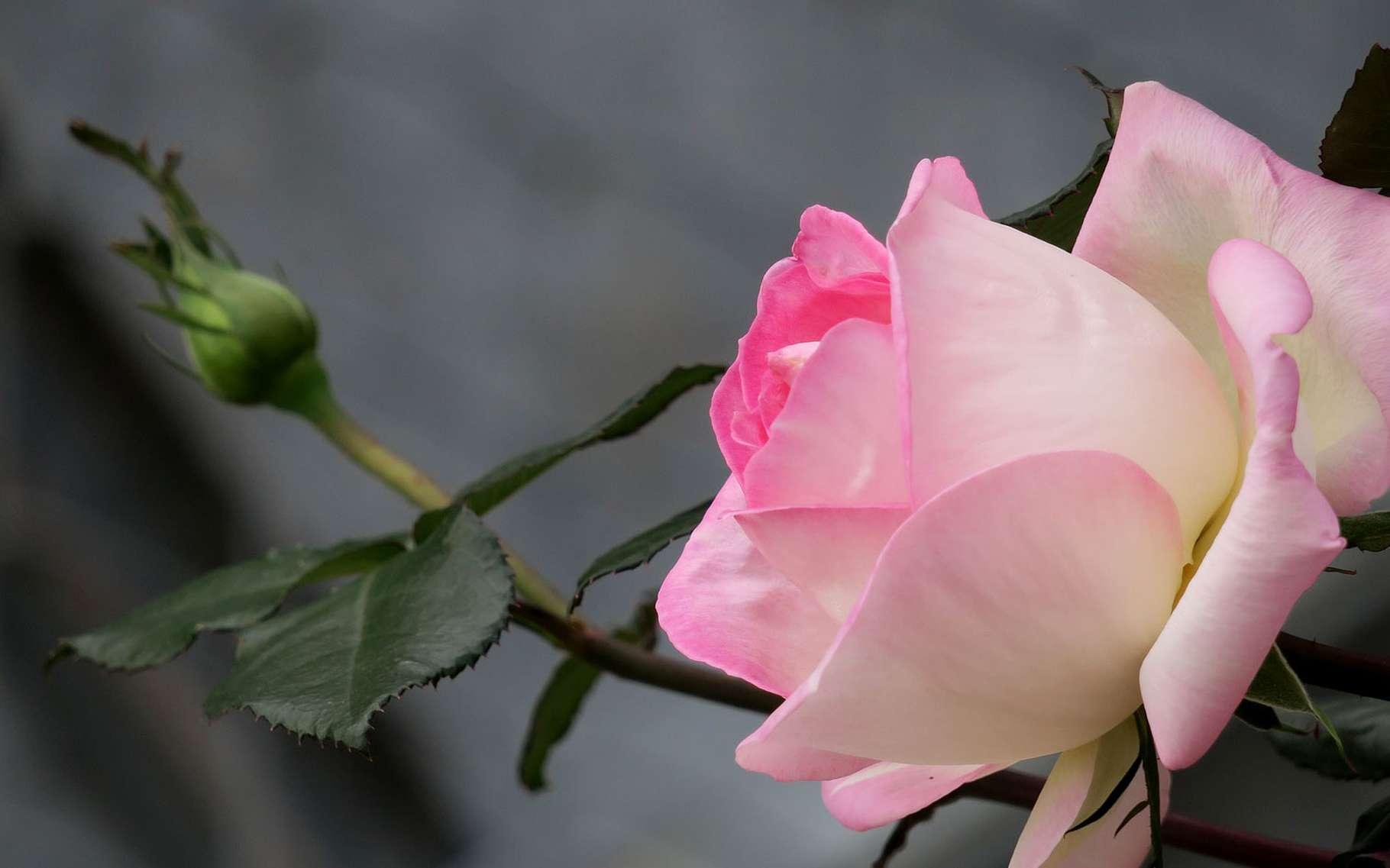 Quand Et Comment Tailler Un Rosier rosiers : quelle est la meilleure période pour les tailler ?
