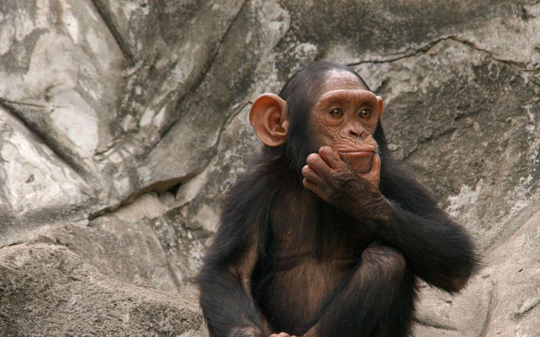 Les gestes sur lesquels s'appuie la communication entre chimpanzés sont peut-être plus proches de notre langage que ce que nous pensions. © Vladimir Wrangel, Fotolia