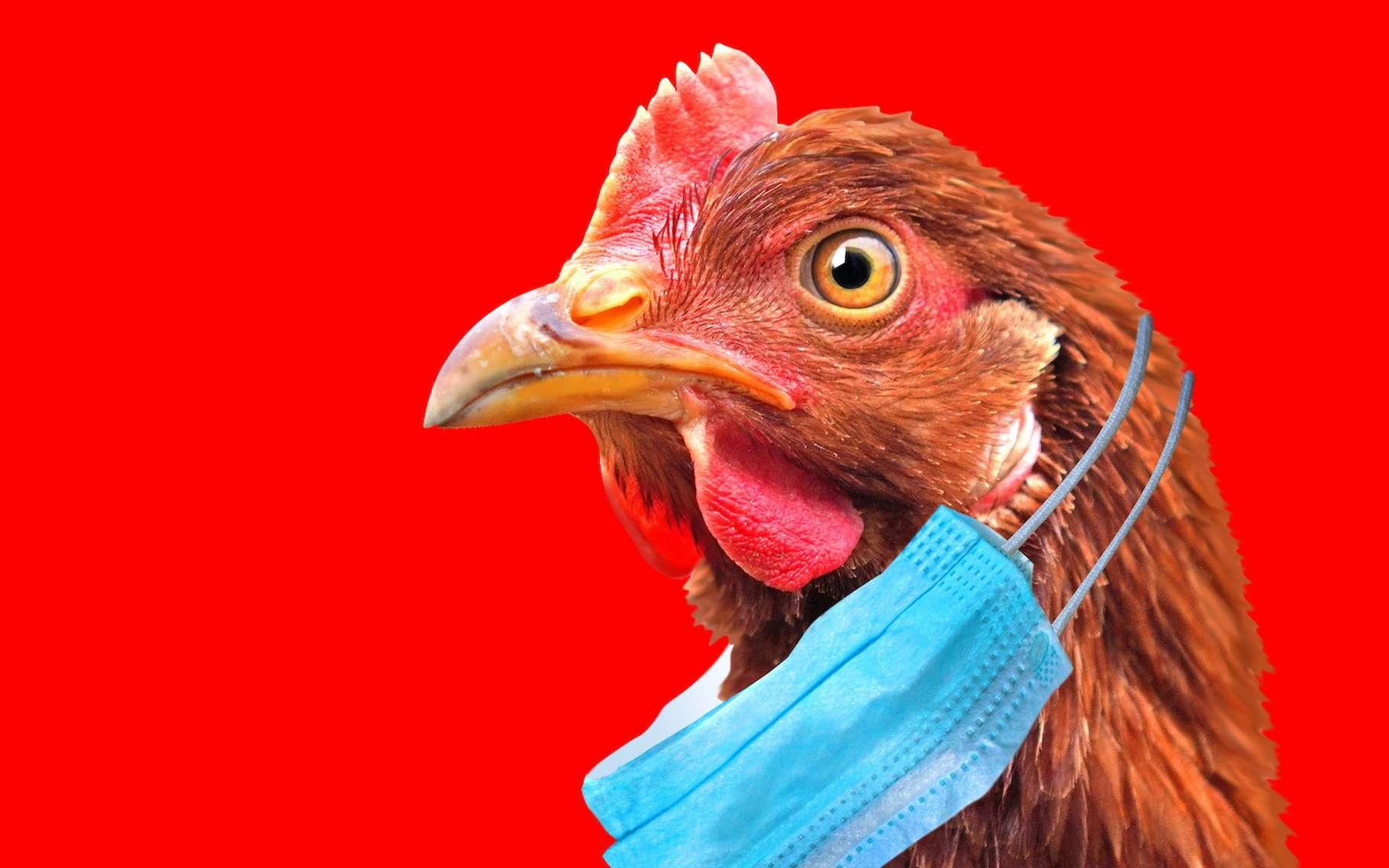 Premier cas de transmission de la grippe aviaire H5N8 à l'être humain identifié en Russie - Futura