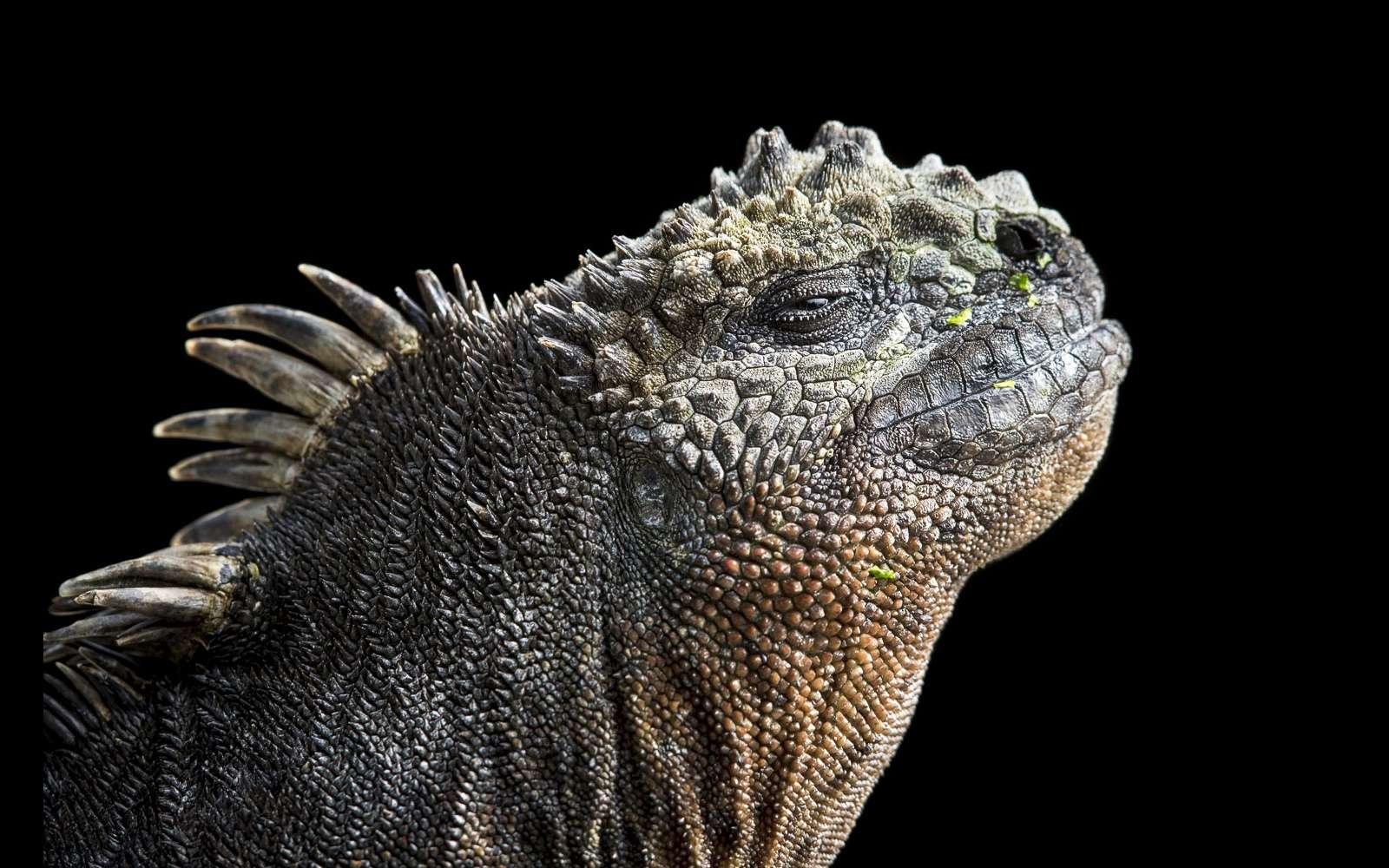 L'iguane marin des Galápagos est une espèce unique, mi-aquatique mi-terrestre, et son mode de vie l'est tout autant. © Maxime Aliaga, tous droits réservés