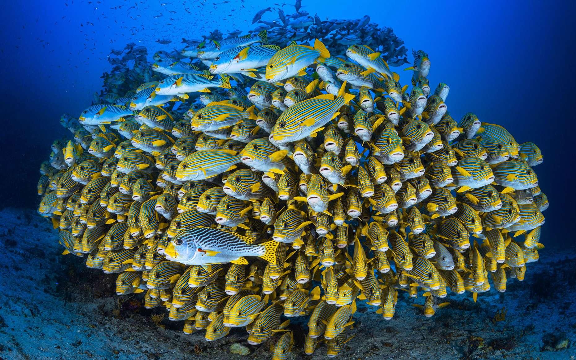 Banc de poissons en formation serrée (ici, des gaterins). © Gabriel Barathieu, tous droits réservés