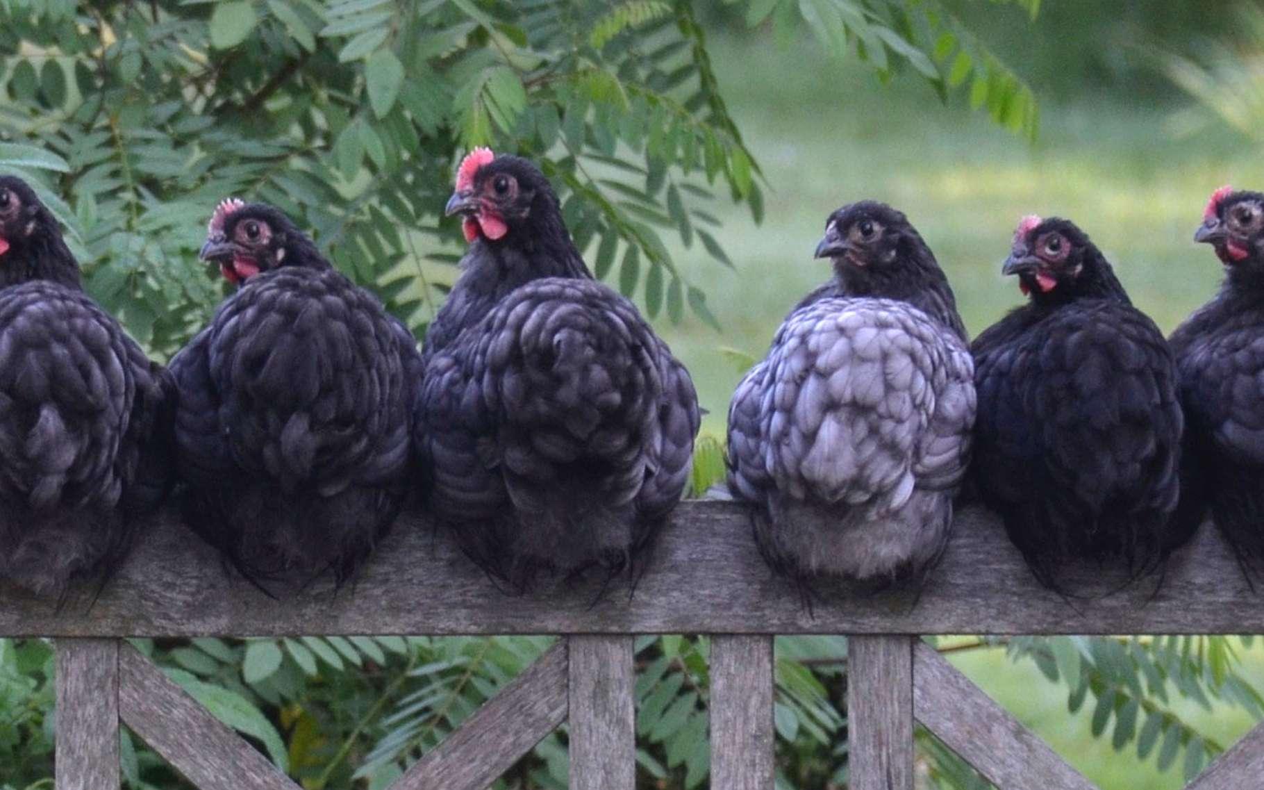 Les poules du jardin. © Wilmapolinder, Pixabay, DP