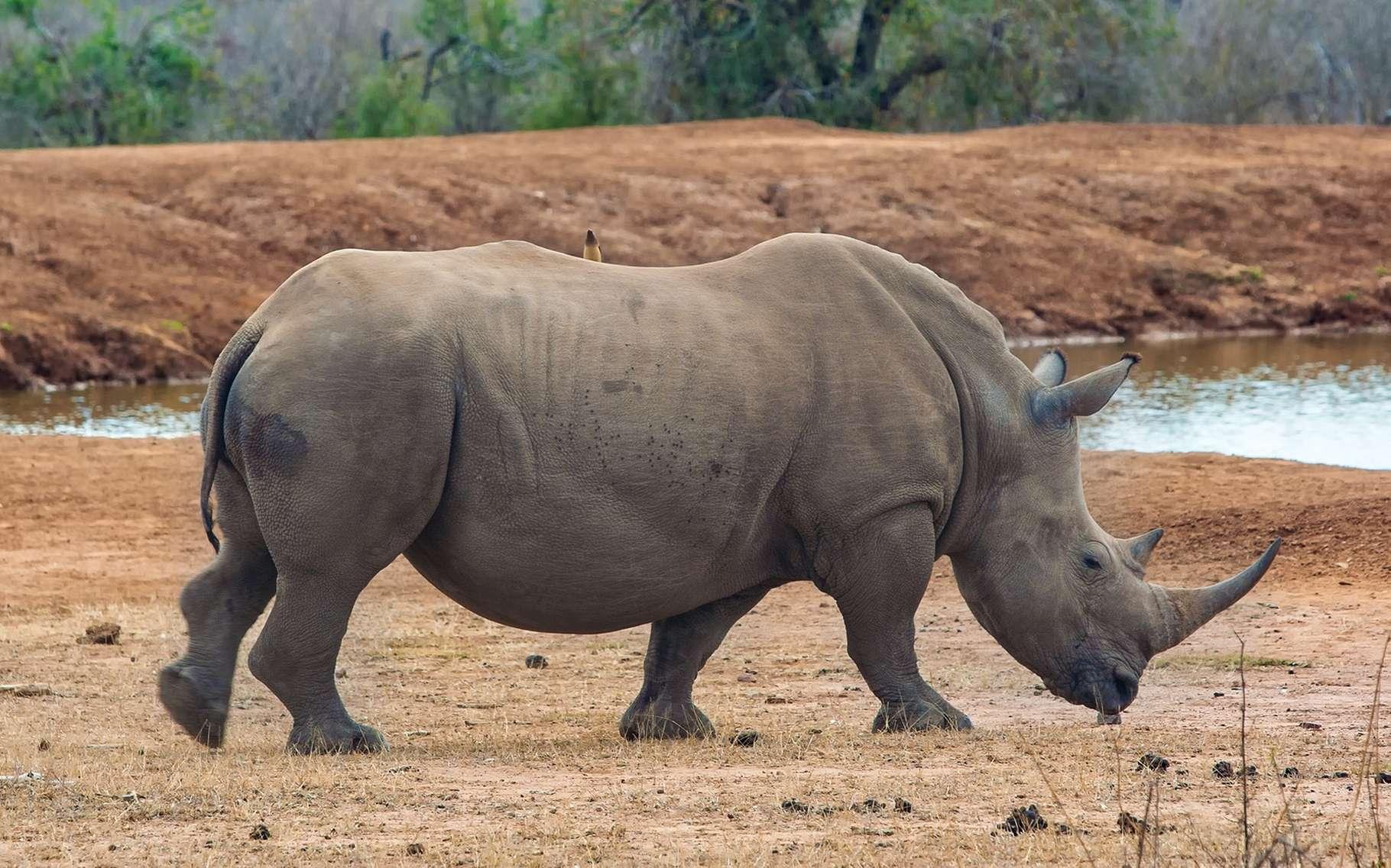 Le rhinocéros blanc d'Afrique a vu sa population augmenter ces dernières années. © Travel Stock, Shutterstock