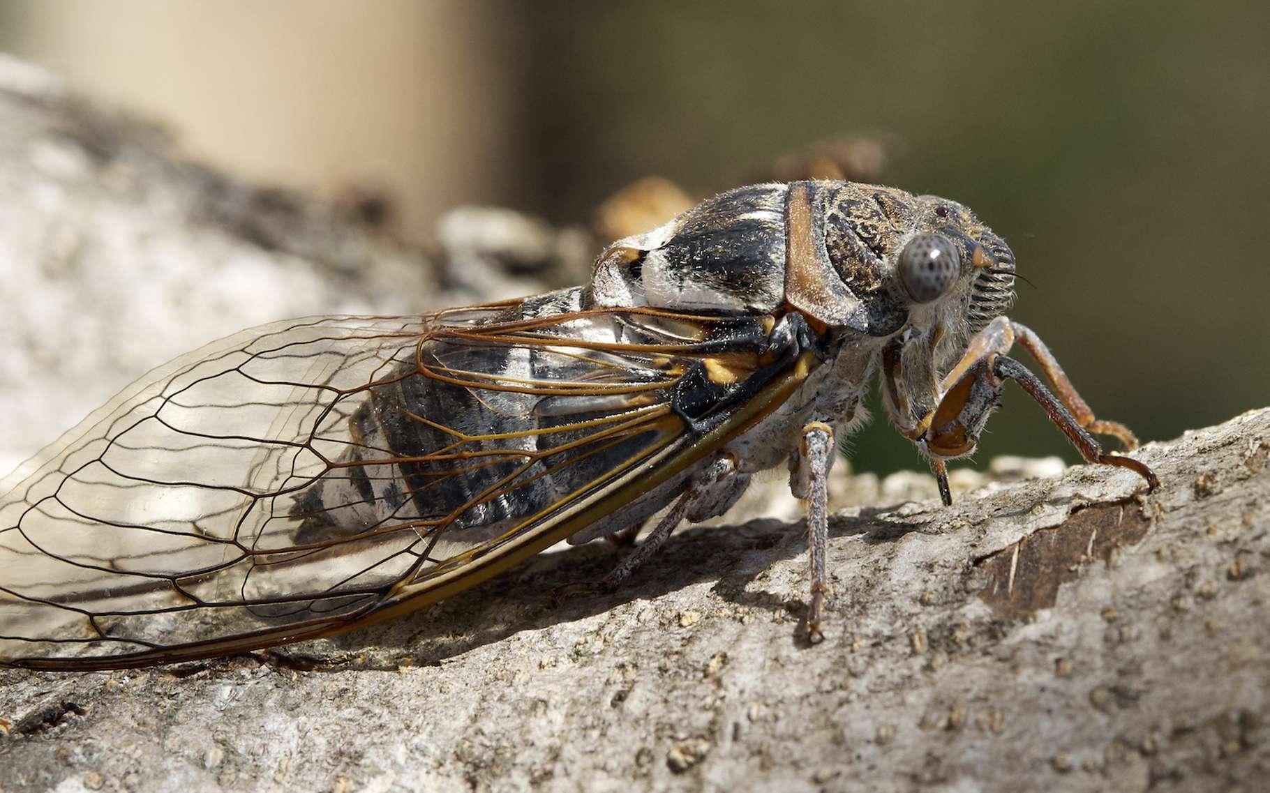 La fréquence et la modulation du chant des cigales sont propres à chaque espèce. Objectif : séduire des femelles de la même espèce que celle du mâle auteur du chant. © Sputniktilt, Wikipedia, CC by-sa 4.0