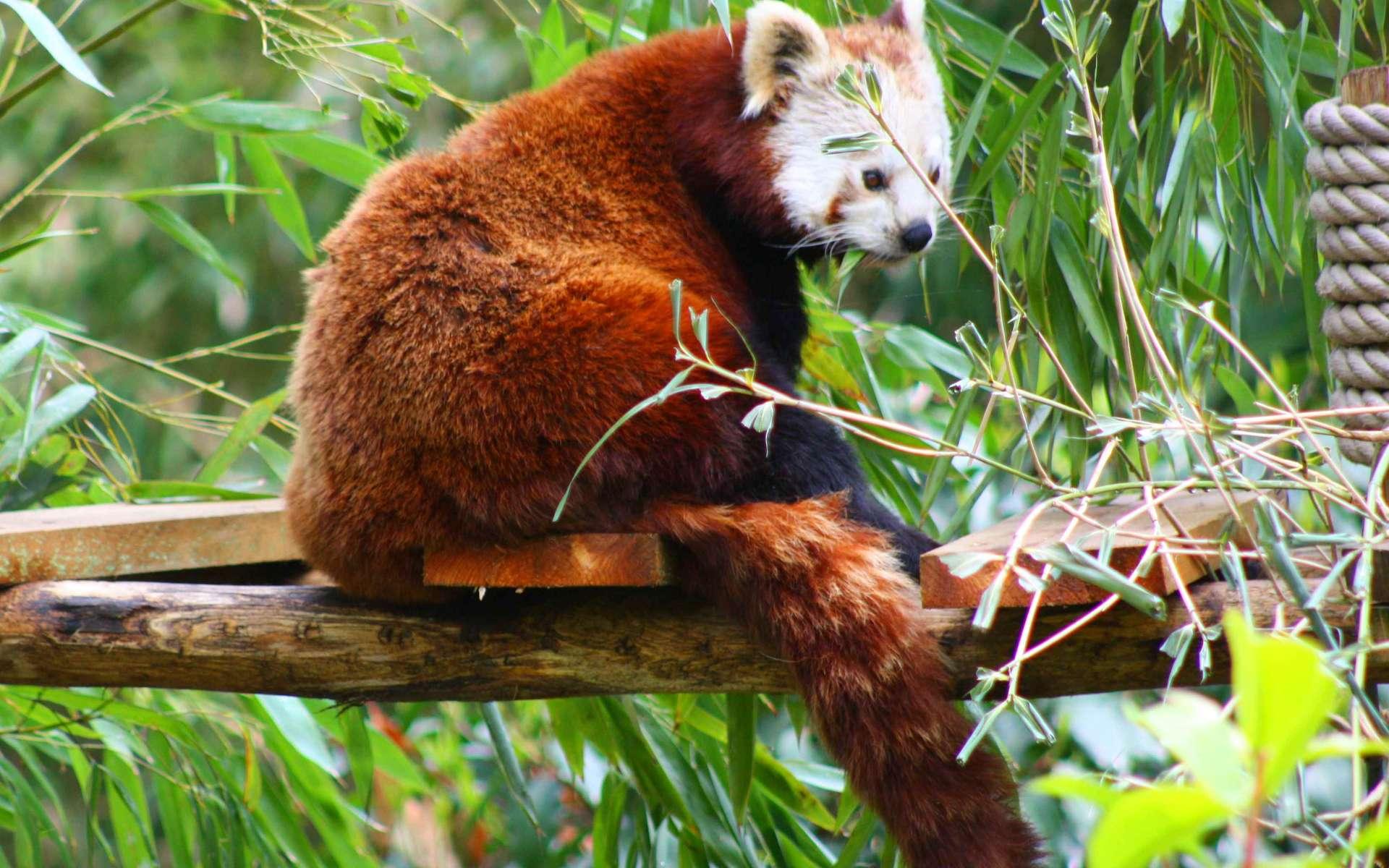 Photo d'un petit panda, aussi appelé panda roux. © Patrick Straub