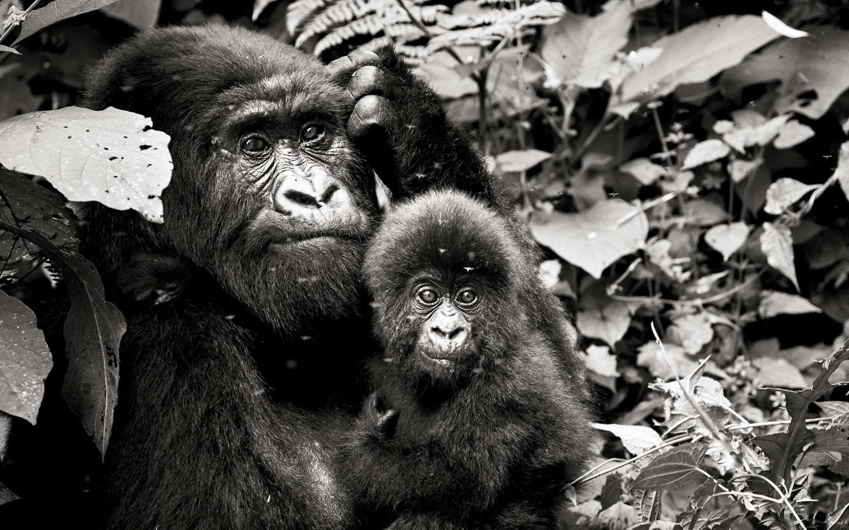 Ce jeune âgé de 6 mois environ est un joli symbole de la vitalité actuelle de la population de gorilles de montagne. Dian Fossey est l'une des premières à les avoir mis en lumière et les efforts continus de conservation depuis son assassinat en 1985 ont permis à la population de passer d'environ 250 à un peu plus de 1.000 au dernier recensement (2018). C'est un réel succès et c'est actuellement la seule population de grands singes en augmentation. Même si les défis demeurent nombreux, ils sont le symbole qu'une forte mobilisation, à condition que l'on s'en donne les moyens, peut payer.
