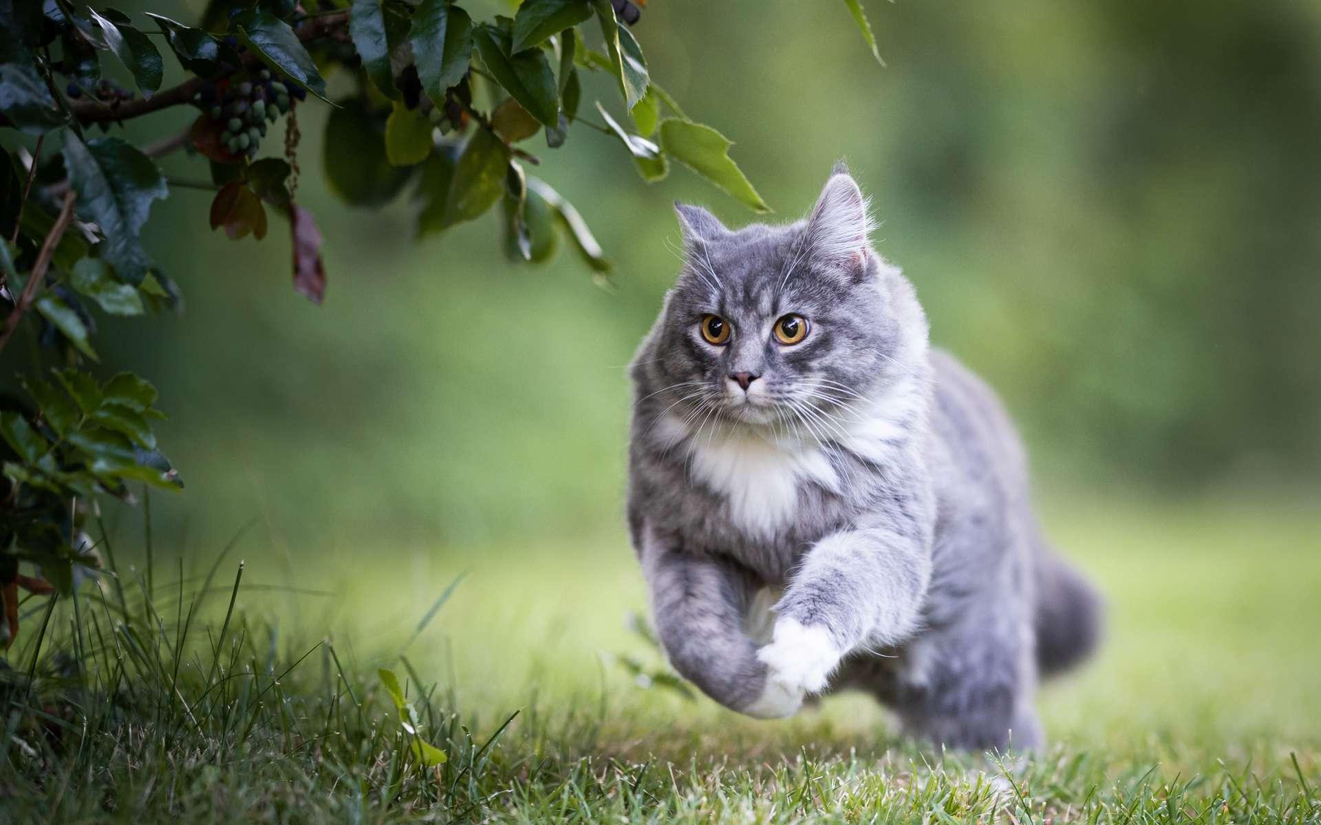 Le génome du chat pourrait permettre de déchiffrer celui de l'humain. © FurryFritz, Adobe Stock