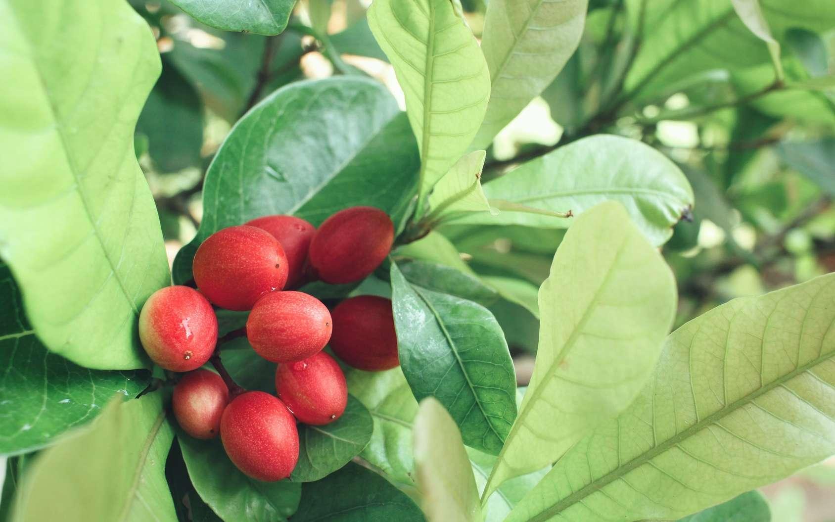 Le fruit miracle, ou fruit miraculeux, pousse sur un arbuste africain et ressemble à l'églantine. © Successo images, Fotolia