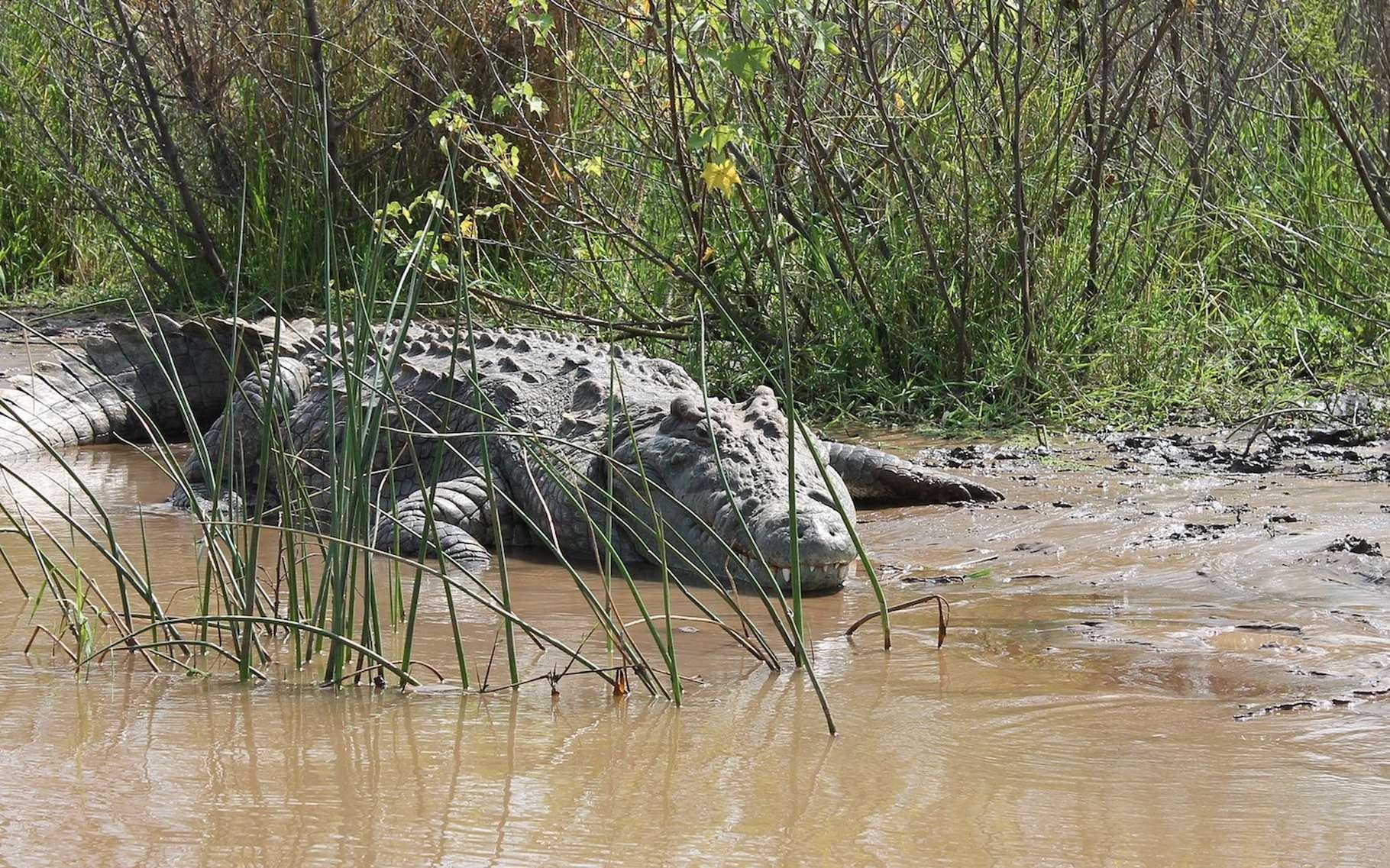 À le voir, comme ça, rien ne laisse penser que le crocodile du Nil puisse être sensible à la musique classique. Et pourtant… © Limboko, Pixabay, CC0 Creative Commons