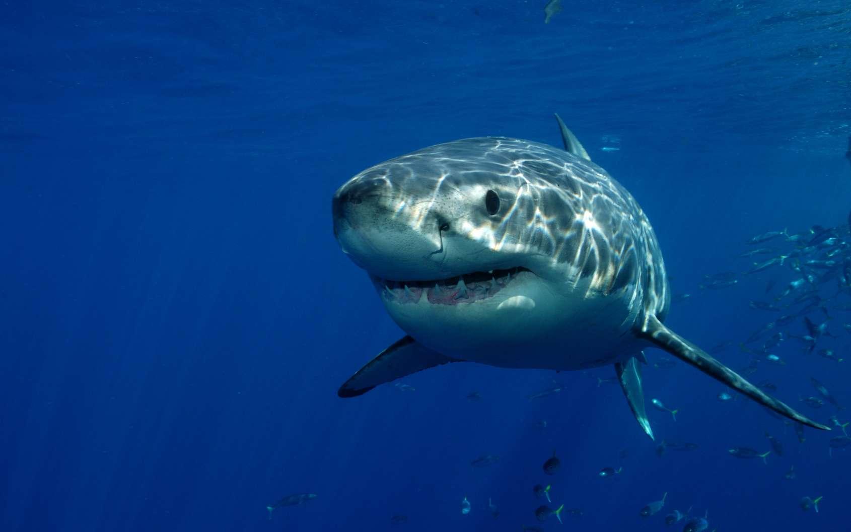 Le requin, un véritable survivant de l'histoire terrestre. © Davidpstephens, Fotolia