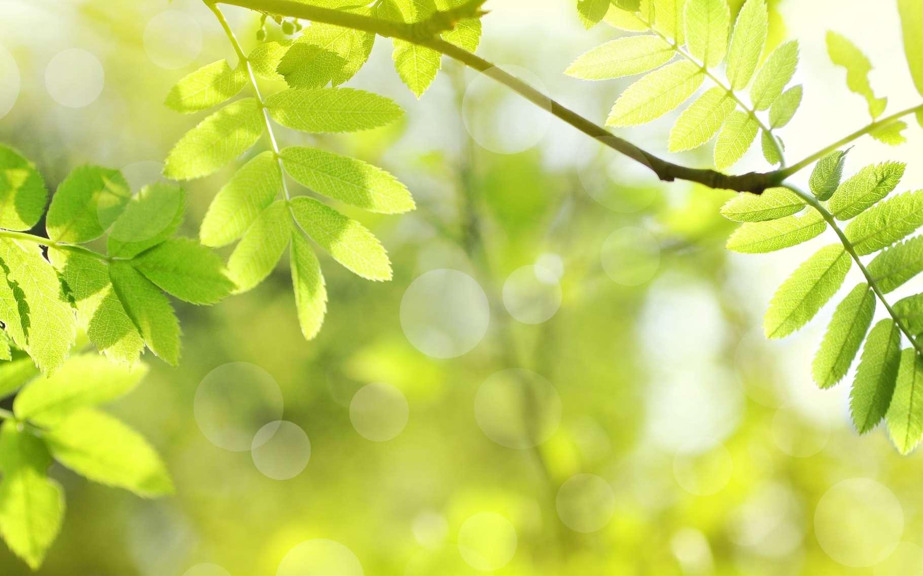 Cette maladie du frêne, due à un champignon, fait dépérir l'arbre en quelques années. Les forêts du nord de la France sont désormais touchées et cette chalarose poursuit sa progression vers le sud-ouest. © Julietphotography, Shutterstock