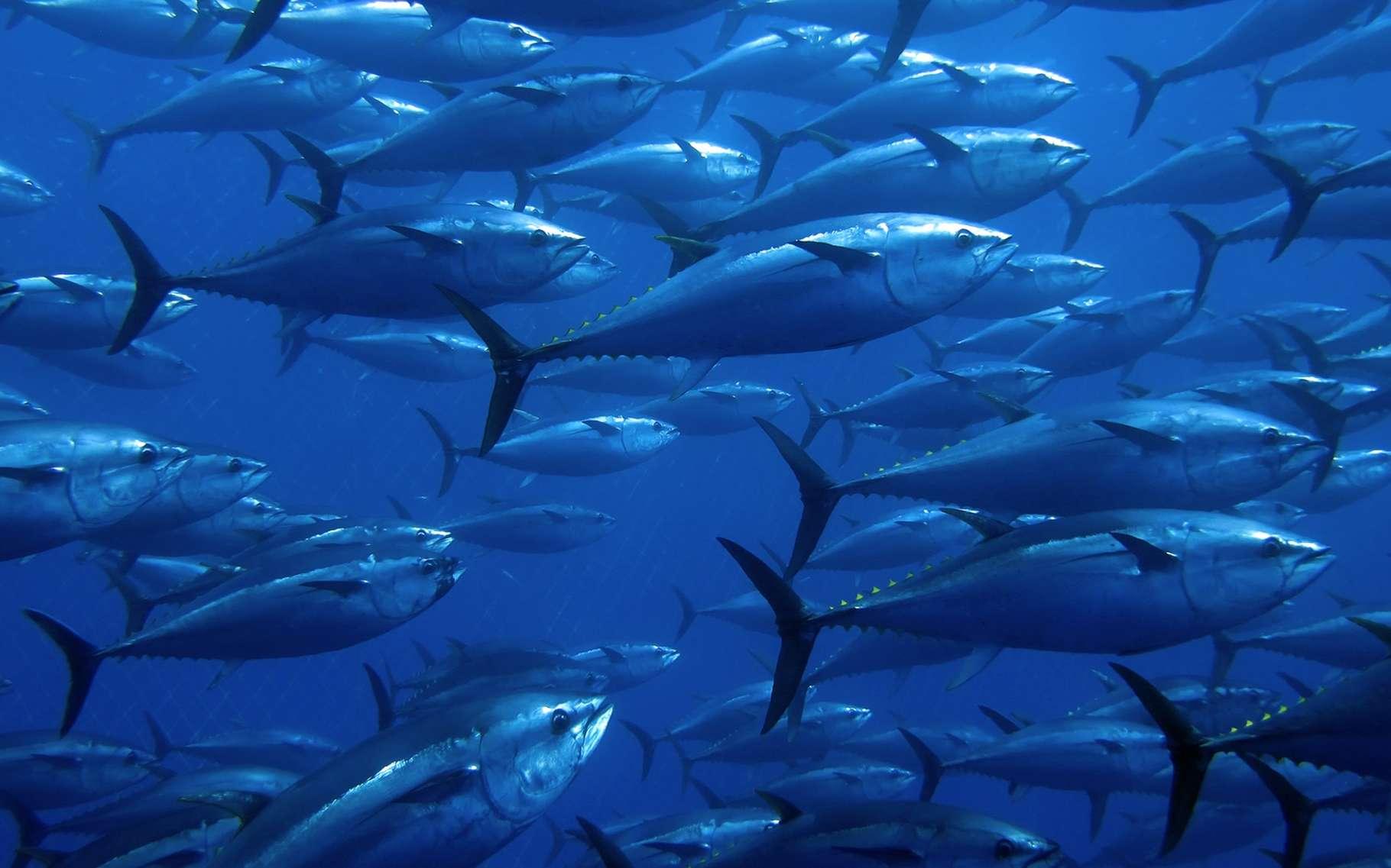 Les grands animaux marins comme le thon rouge seraient particulièrement touchés par cette extinction de masse sans précédent dans l'Histoire de la Terre. © Ugo Montaldo, Shutterstock