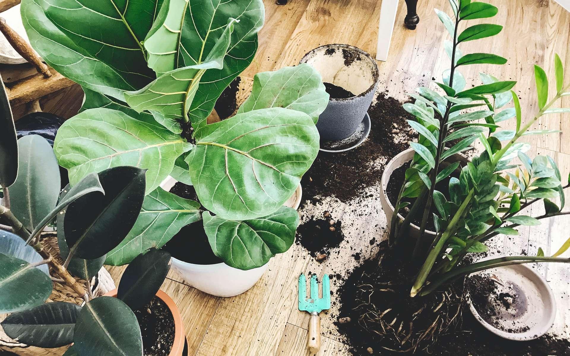 Rempoter une plante est une opération simple qui permet à vos plantes en pot de se développer. © sonyachny, Adobe Stock