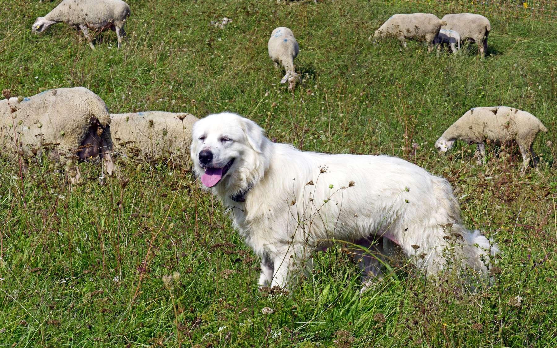 Le patou n'est pas un chien comme les autres. © bennytrapp, Adobe Stock