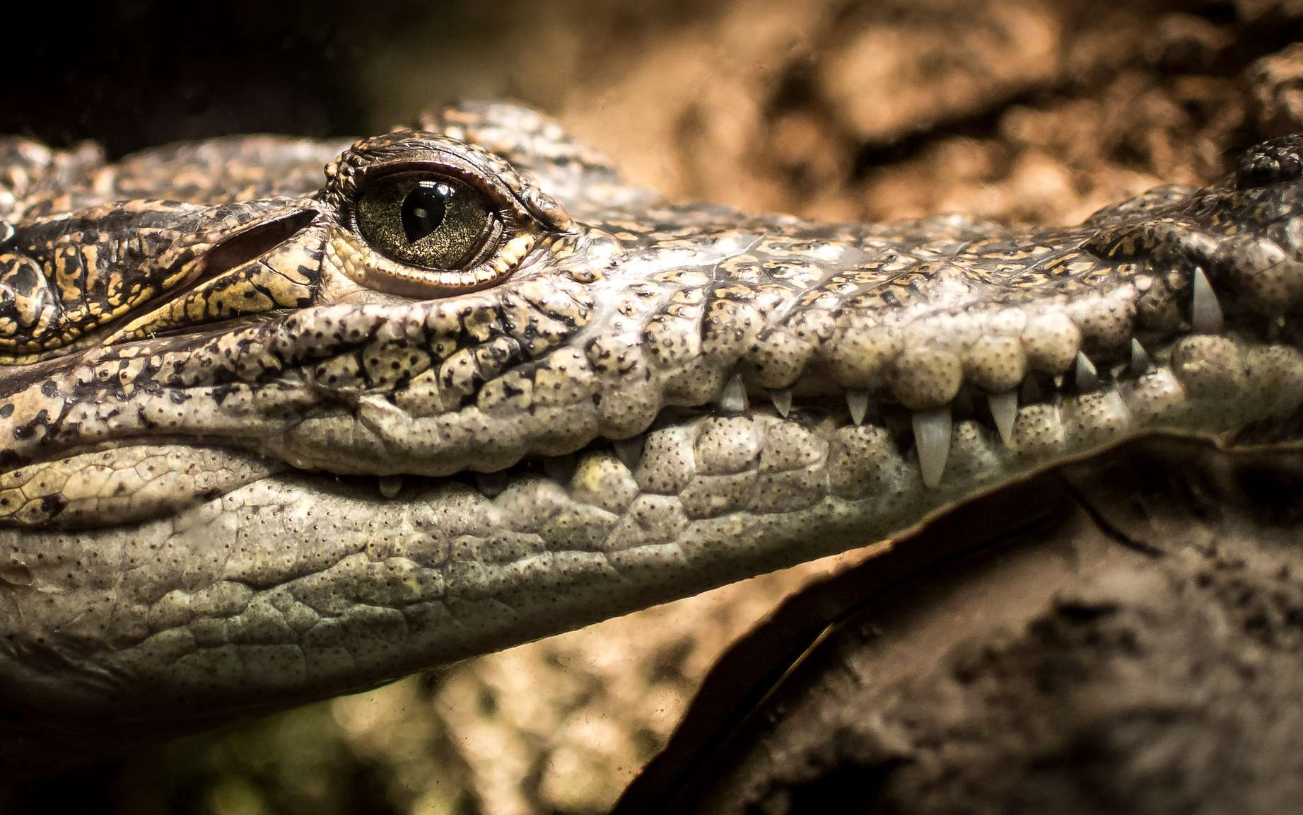 Les crocodiliens sont apparus au Crétacé et ont subi peu de modifications depuis. © Shannon Tompkins, Flickr