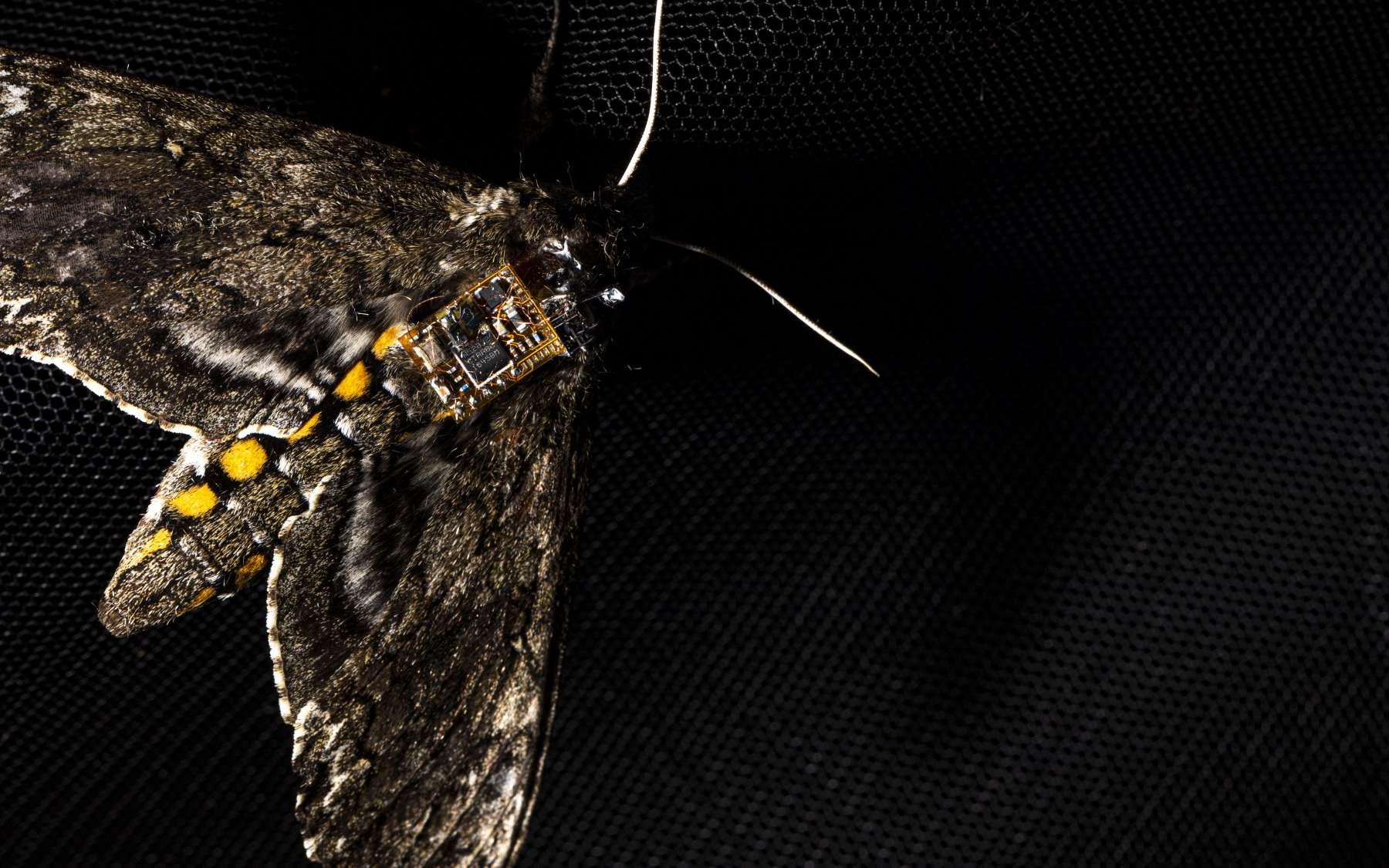 Le capteur est tellement petit et léger qu'il peut être transporté par un papillon de nuit. © Mark Stone, University of Washington