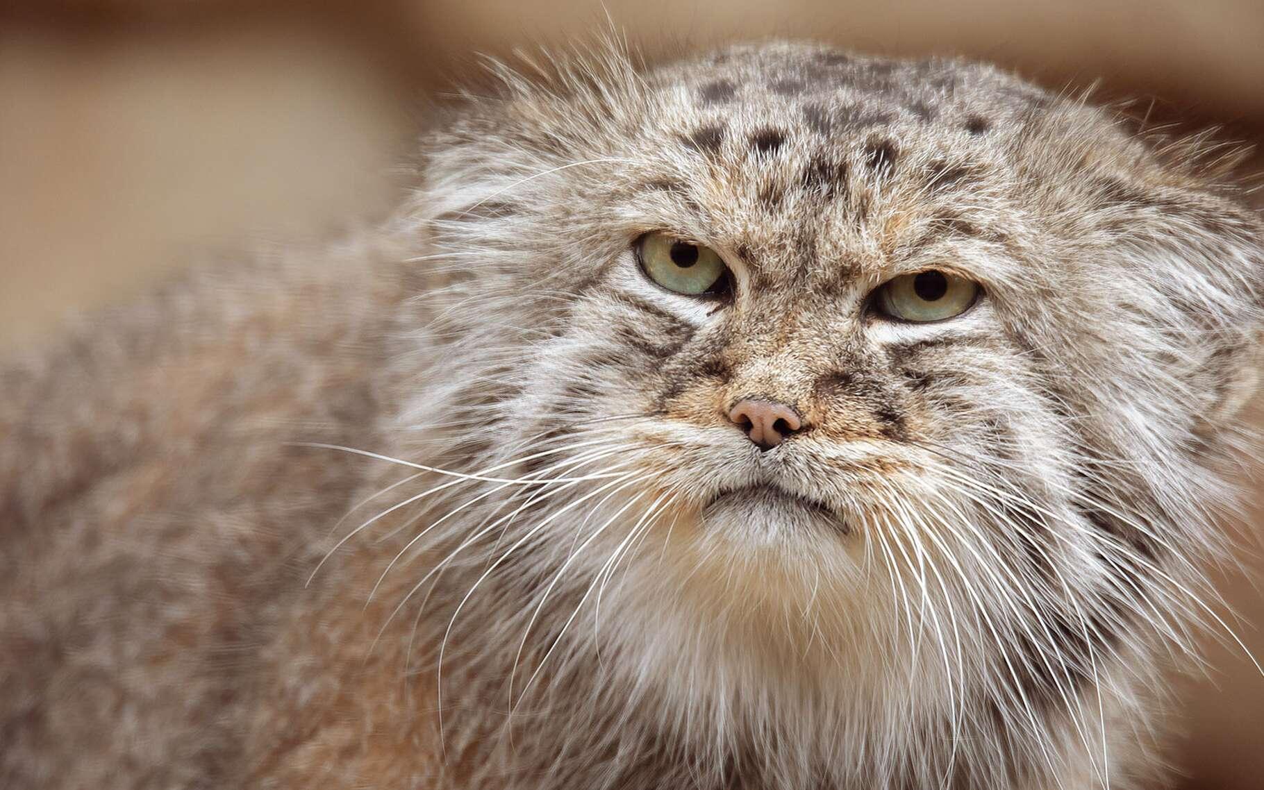 Le manul est la seule espèce du genre Otocolobus. Ce petit félin, entre 50 et 65 cm, loge dans les steppes d'Asie centrale. Il survit jusqu'à -50 °C ! Par la localisation de son habitat, sa fourrure est longue et épaisse. Il ne pèse que de 2,5 à 4,5 kilos. Plutôt roux dans le sud de son aire de répartition, il est davantage gris au nord. On estime sa longévité à quelque 11,5 ans. Principalement actif au crépuscule, il chasse de petits mammifères tout en se protégeant des prédateurs. Sa petite taille le rendant vulnérable.Après une grossesse de 66 à 74 jours, la femelle donne naissance à des portées de trois à quatre chatons en moyenne. Sa tanière se cache dans une grotte ou une cavité quelconque. Ses petits sont protégés par un duvet jusqu'à leur deuxième mois, et quittent les pattes de leur mère à huit mois. Il est surnommé le chat de Pallas.© ArtushFoto