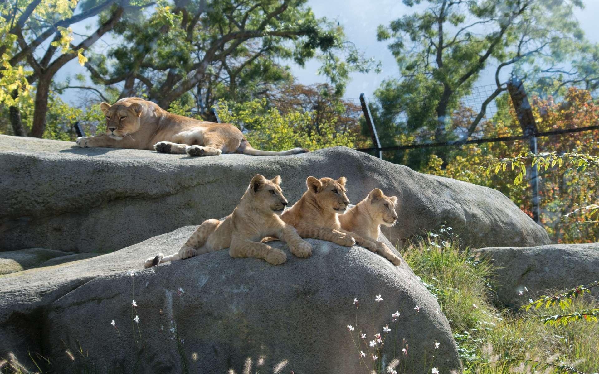 La lionne et ses trois lionceaux, âgés de 6 mois, parc zoologique de Vincennes ©Dinkum, Wikimedia Commons, CC by-sa 3.0