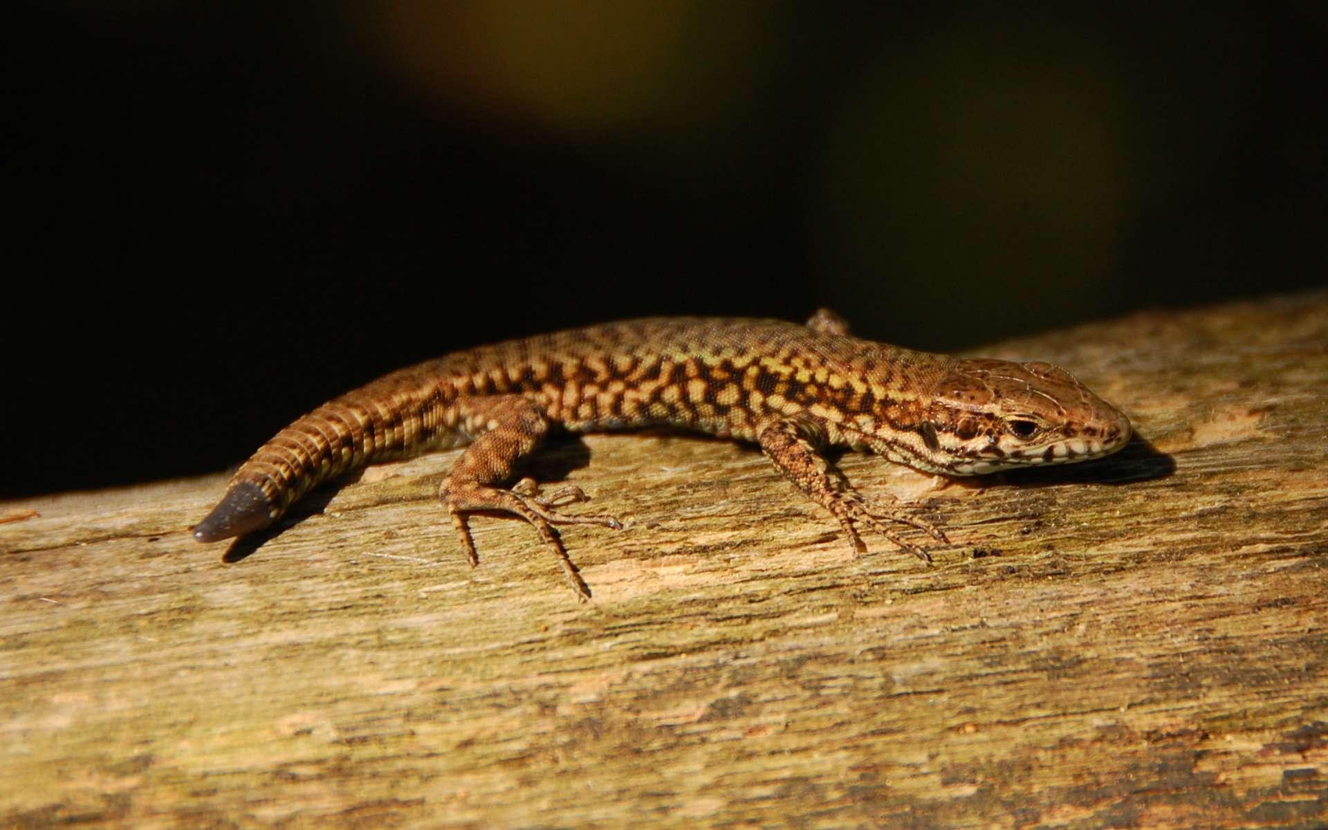 Les lézards peuvent régénérer leur queue après l'avoir perdue par autotomie. Bien souvent, l'organe abandonné est doté d'une vie propre durant plusieurs minutes, pour leurrer le prédateur. © gaikokujinkun, Flickr, CC by 2.0