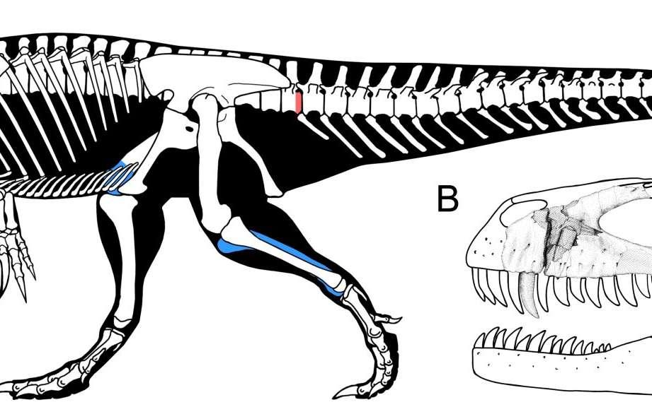 En A, le squelette de Torvosaurus gurneyi reconstitué grâce aux restes fossiles récemment trouvés (en rouge) et étudiés sur d'autres spécimens (en bleu). Le crâne volumineux (1,15 m de longueur) est représenté en B avec ses dents de bonnes tailles. La barre d'échelle de la figure A vaut 1 m et celle en B 10 cm. © Christophe Hendrickx, Octávio Mateus, Plos One ; dessins de Scott Hartman, Carol Abraczinskas et Simão Mateus