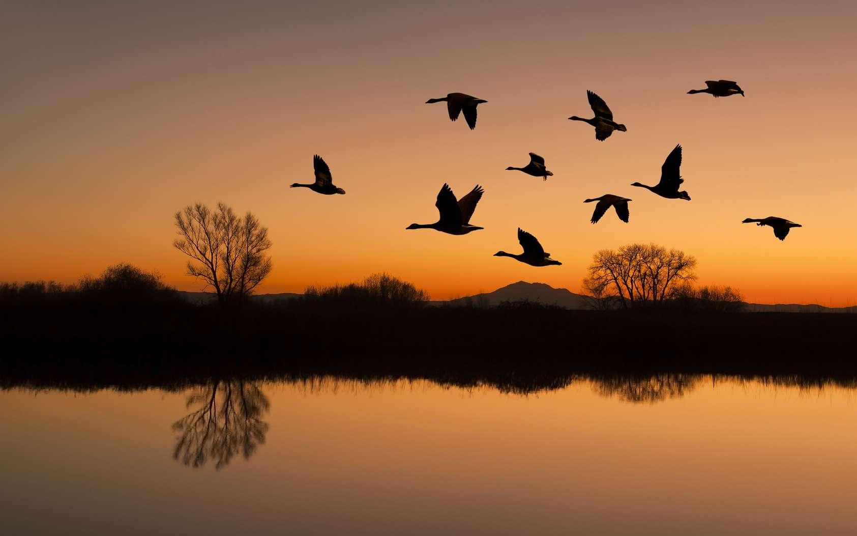 Les oiseaux migrateurs pourraient utiliser le champ magnétique terrestre (la magnétoréception) pour s'orienter. © Terrance Emerson, Fotolia