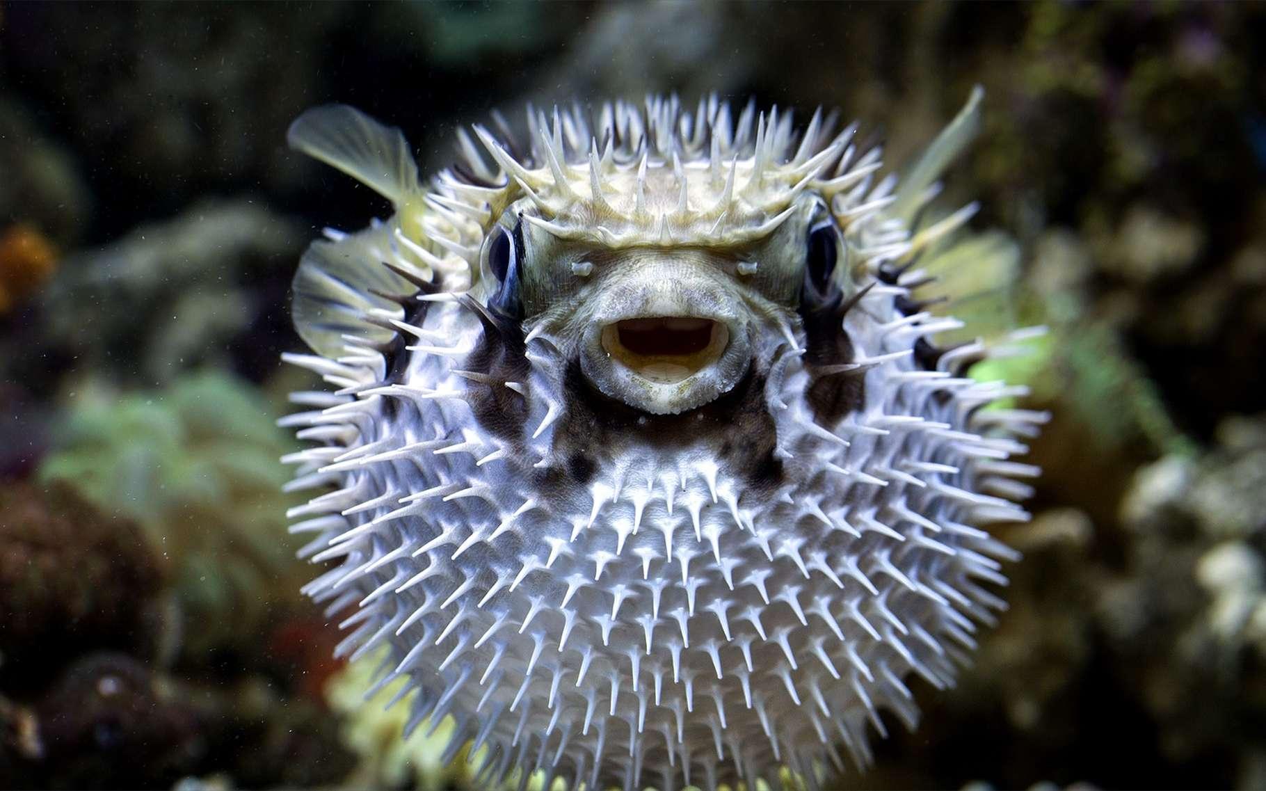 Le fugu est un aliment qui peut être dangereux. Il contient de la tétradotoxine, qui est mortelle. © Aries Sutanto, Shutterstock