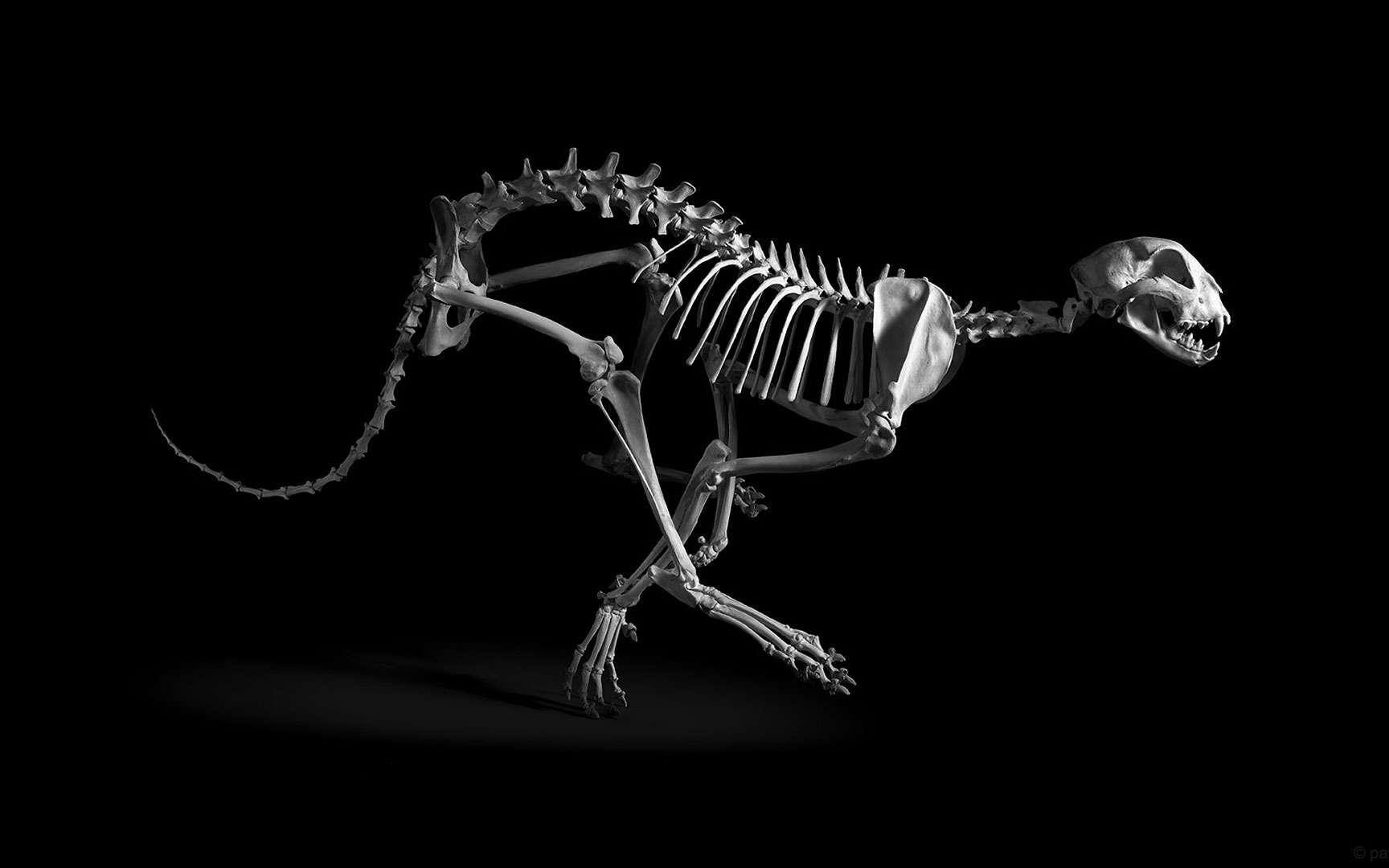 Guépard. Guépard, Acynonyx jubatus, Afrique subsaharienne,Moyen-Orient (h. ép. 70 cm) coll. MNHN. Le squelette du guépard révèle un ensemble d'adaptations à la course. Les membres postérieurs sont formés de trois segments de même longueur (correspondant à la cuisse, à la jambe et au pied) ce qui permet d'augmenter la poussée du pied par une extension de grande ampleur. La souplesse de la colonne vertébrale et l'élasticité des ligaments lui permet d'emmagasiner l'énergie lors de la flexion, pour la restituer lors de l'extension du corps. La course est aussi facilitée par la petite taille de la tête (en comparaison de celle d'un lion, par exemple). Tous droits réservés. Photo issue du livre ''Evolution'' Préface : Jean-Pierre Gasc Textes : Jean-Baptiste de Panafieu Photographies : Patrick Gries © des photos: © Éditions Xavier Barral/Muséum National d¹Histoire Naturelle Editeurs: Éditions Xavier Barral/Muséum National d¹Histoire Naturelle