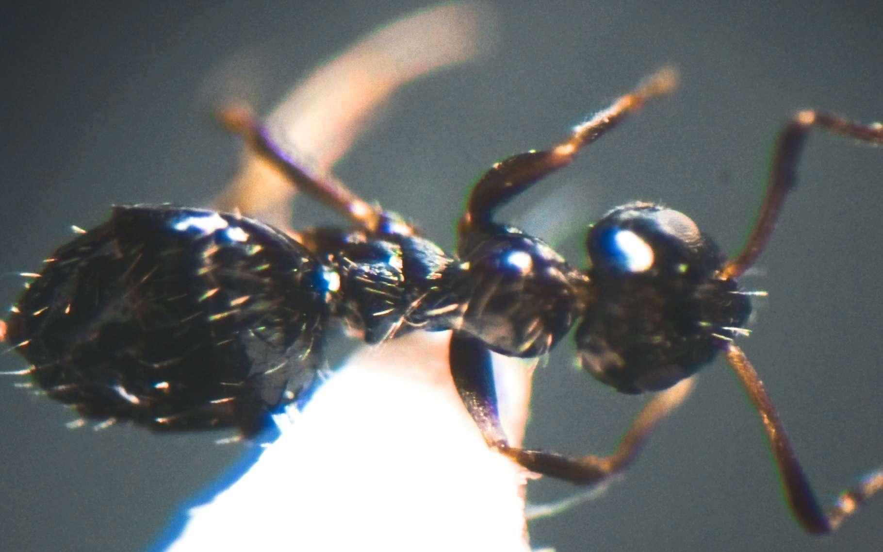 Une fourmi de l'espèce Lepisiota canescens. © Ants of Africa