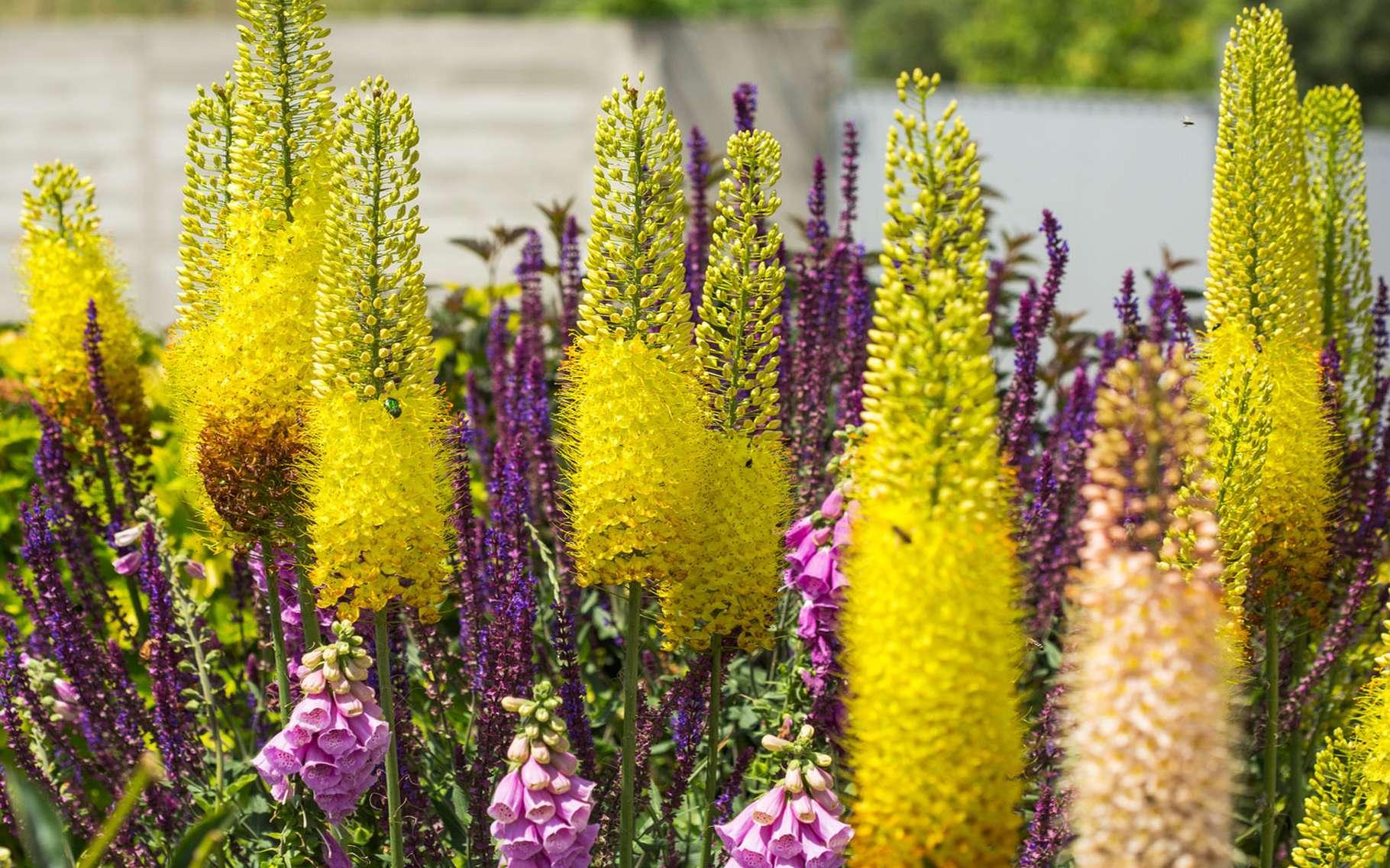 L'érémurus est une plante fascinante. © Cobia, Fotolia