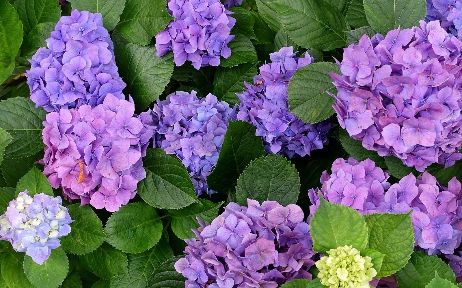 Une plantation d'hortensia réussie pour avoir une belle floraison. © Daderot, Domaine Public