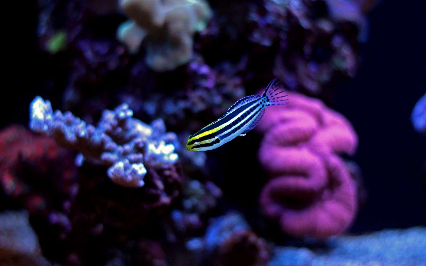 Meiacanthus grammistes est une blennie qui vit dans les récifs coralliens du Pacifique. © Kolevski.V, Fotolia