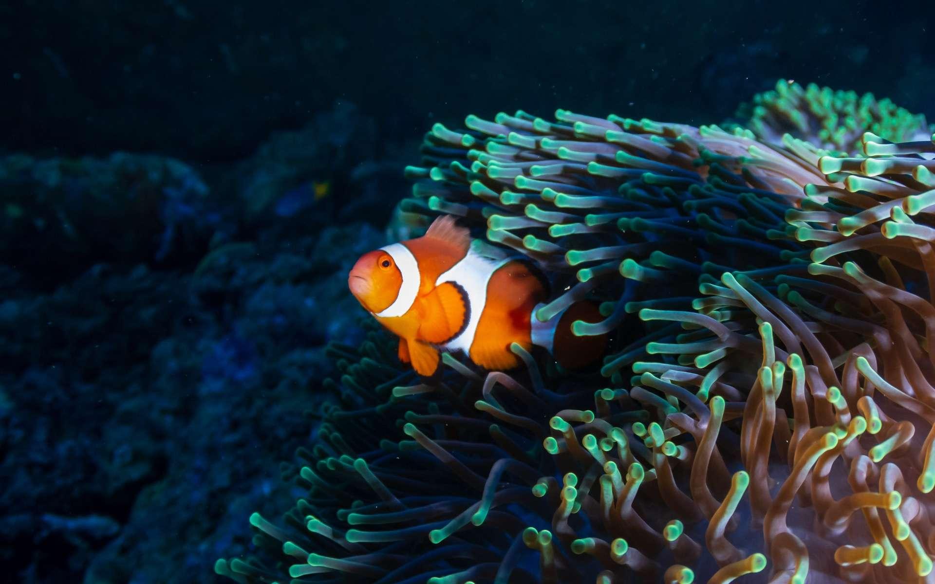 Le poisson-clown reste toute sa vie dans la même anémone. © Whitcomberd, Adobe Stock