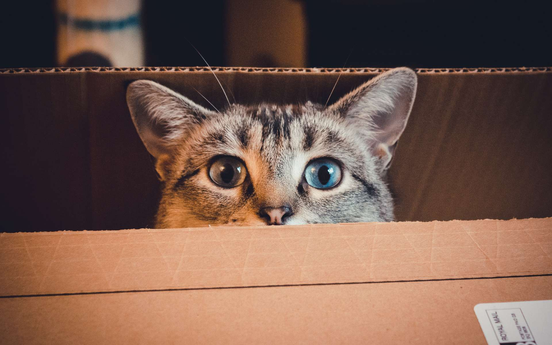 Les chats aiment se réfugier dans les boîtes en carton ; un abri qui les rassure. © William-C, Flickr